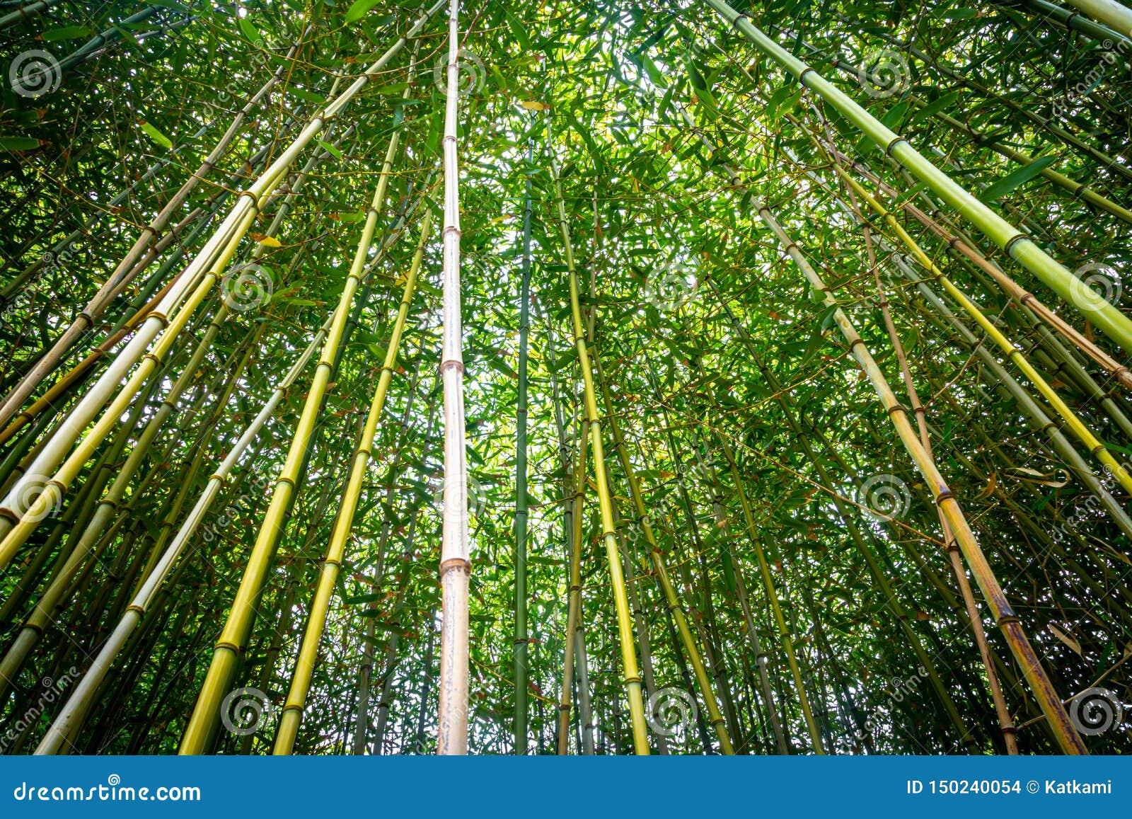 Να ανατρέξει σε ένα δάσος μπαμπού