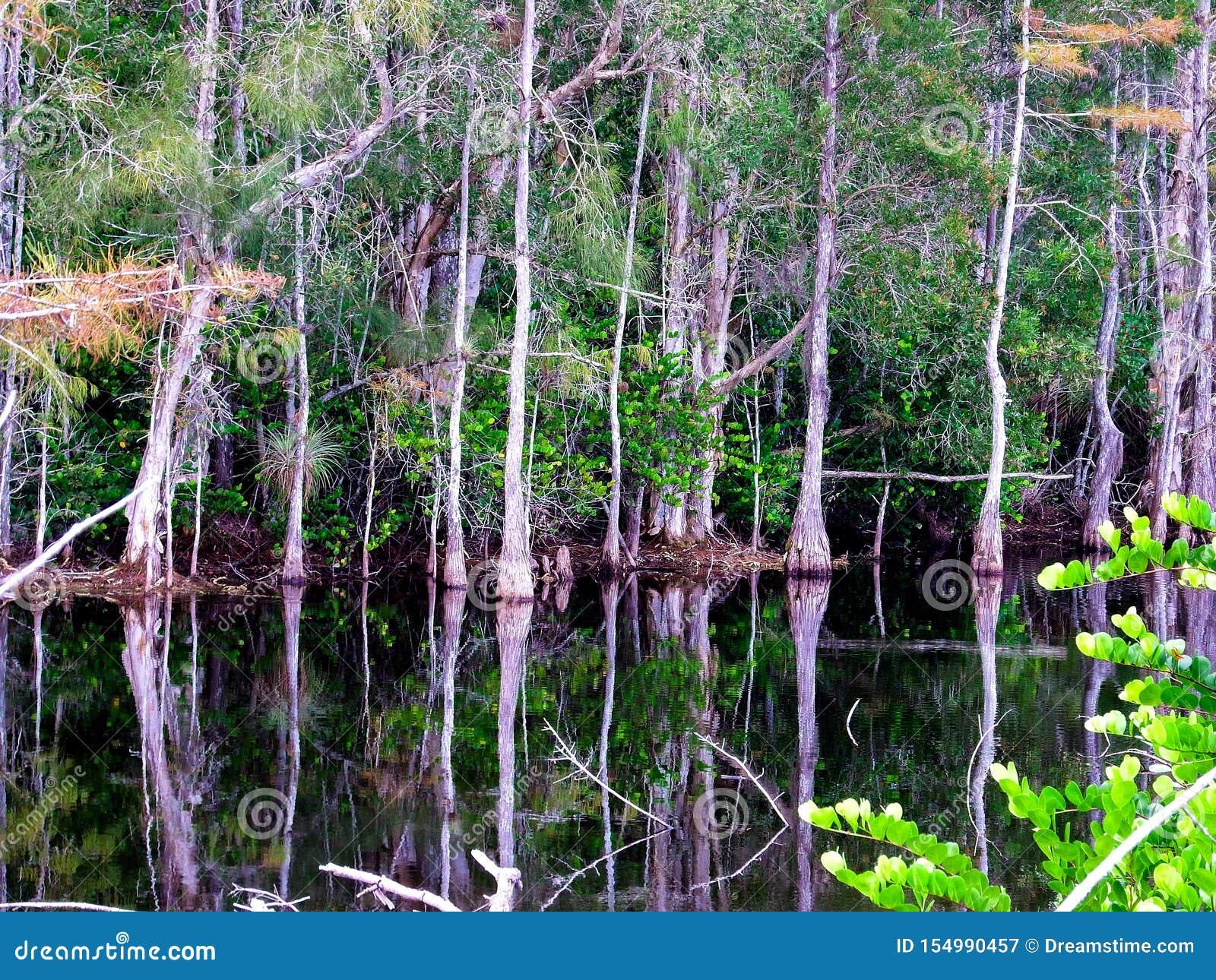 Να εξετάσει ένα έλος κυπαρισσιών στη χλοώδη κονσέρβα νερών της Φλώριδας Everglades