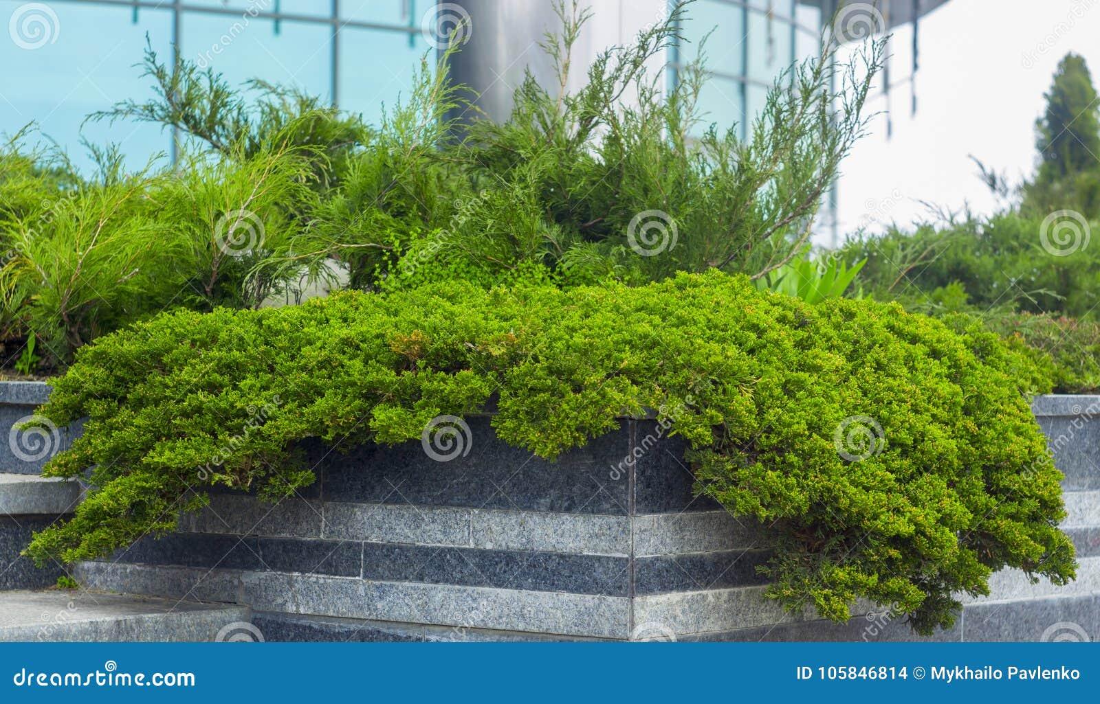 Να συρθεί ποικιλιών horizontalis Agnieszka ιοuνίπερος ιουνιπέρων στο δύσκολο κήπο