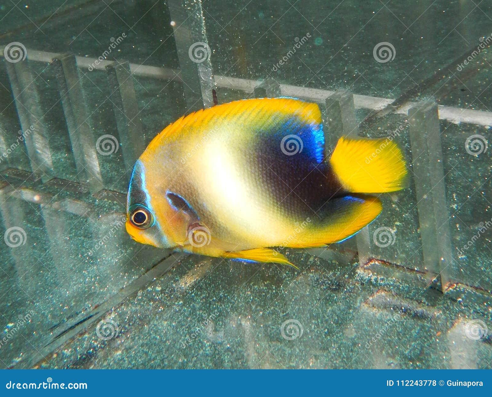 Νεανική δύση - αφρικανικό Angelfish