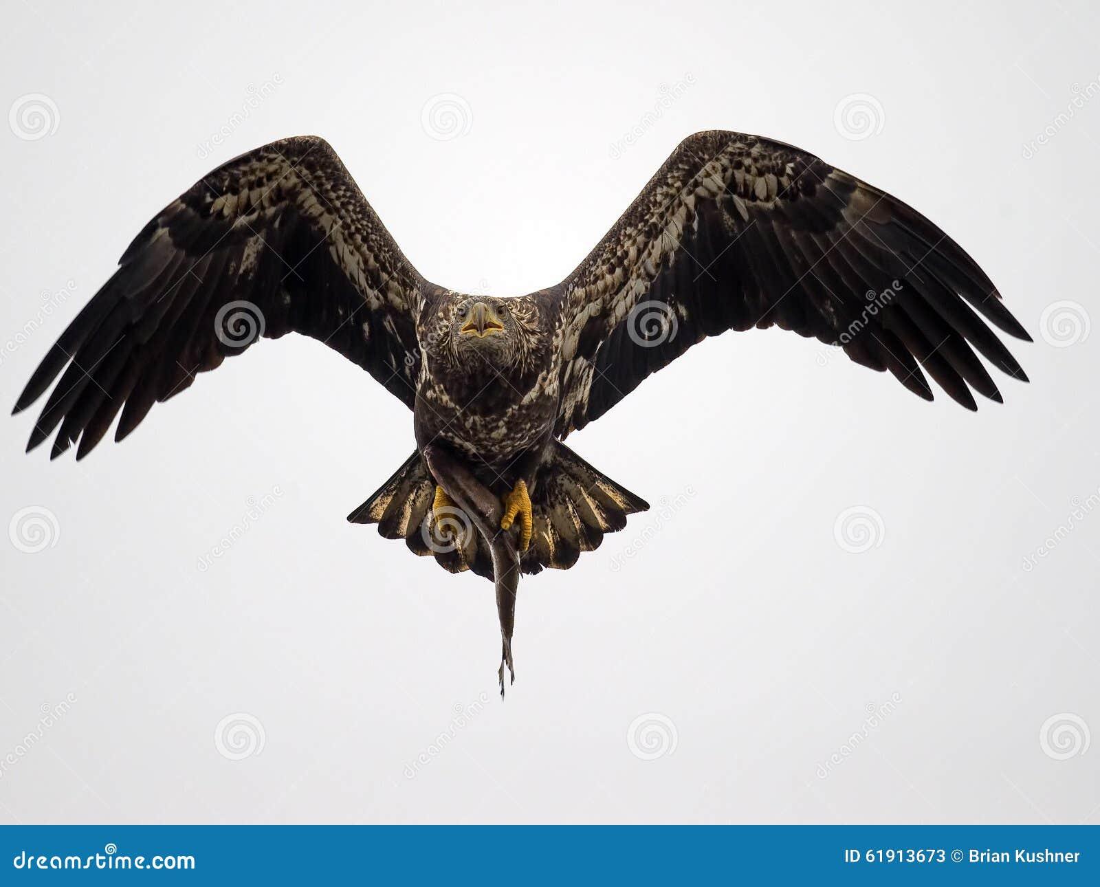 Νεανικός αμερικανικός φαλακρός αετός με τα ψάρια