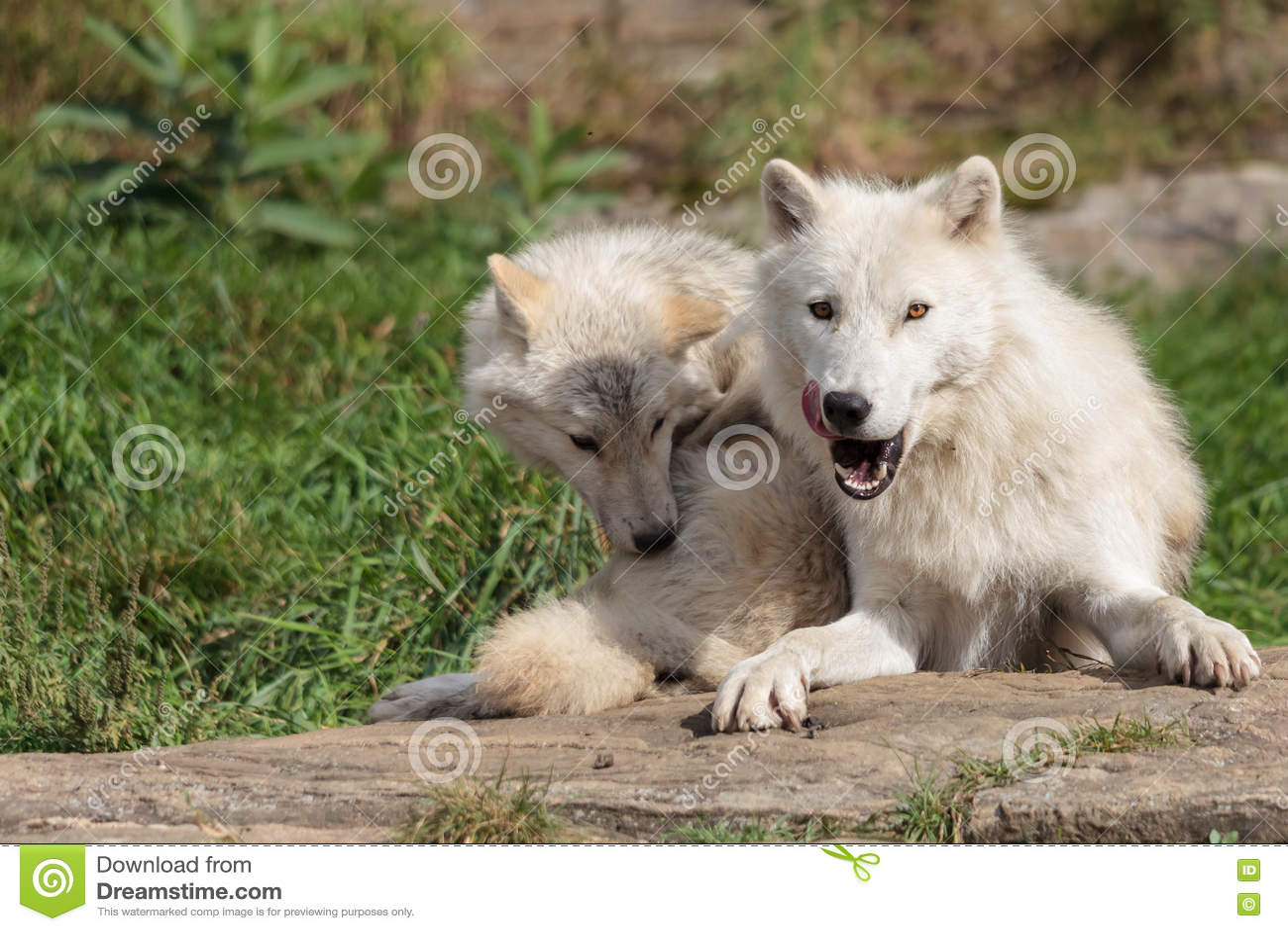 Νεανικός αρκτικός λύκος με τη μητέρα