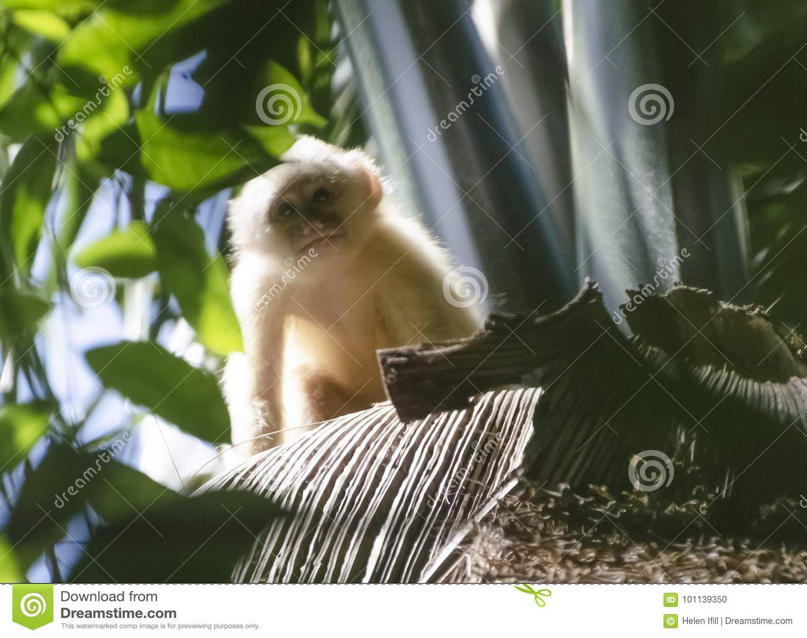 Νεανικός λευκομέτωπος Capuchin πίθηκος