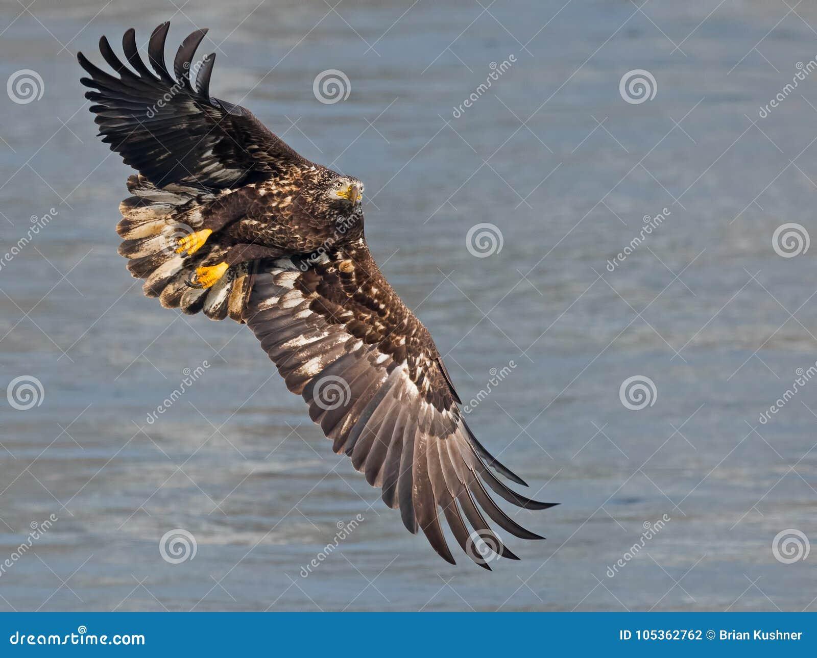 Νεανικός φαλακρός αετός σε Flght