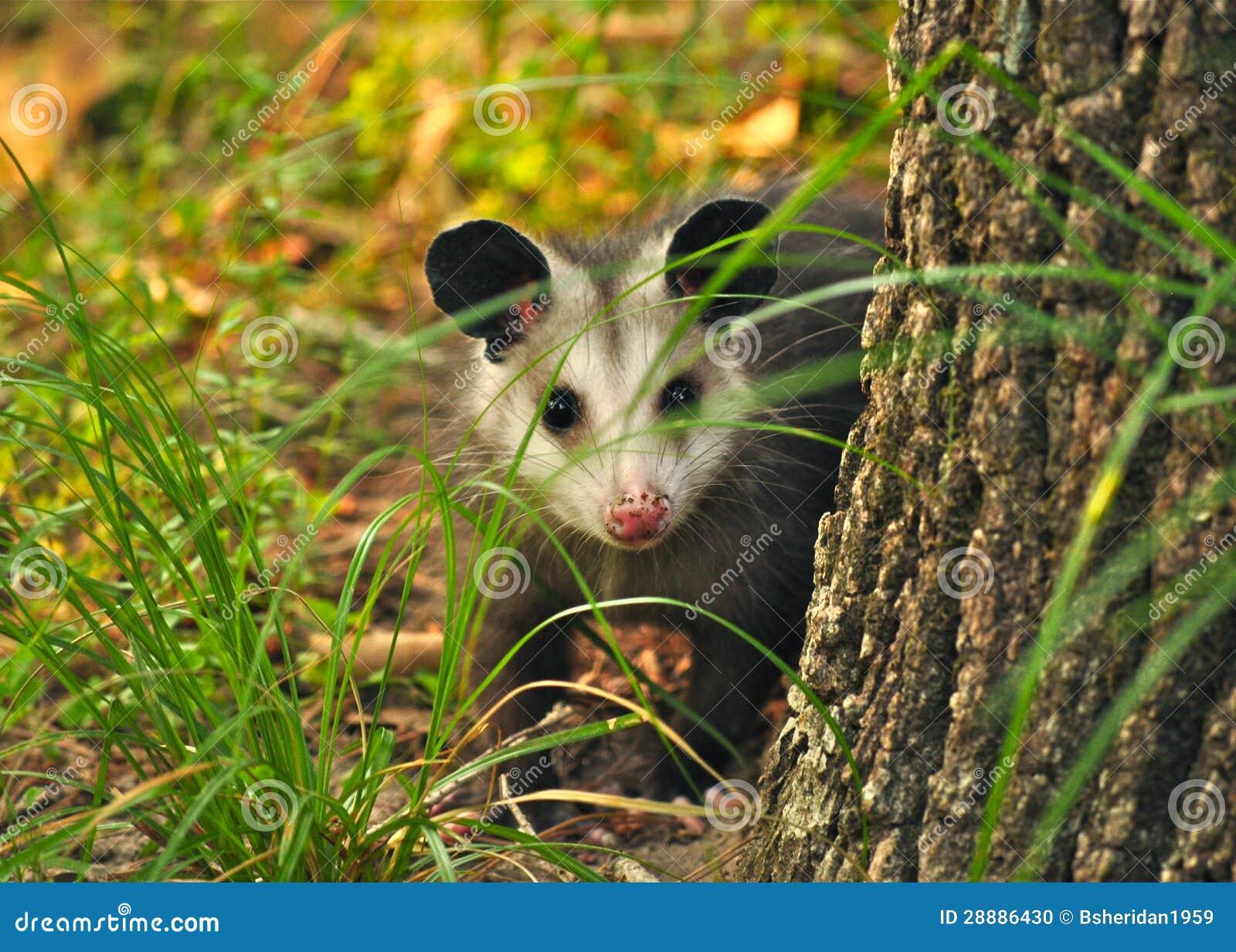 Νεανικός Opossum πίσω από ένα δέντρο