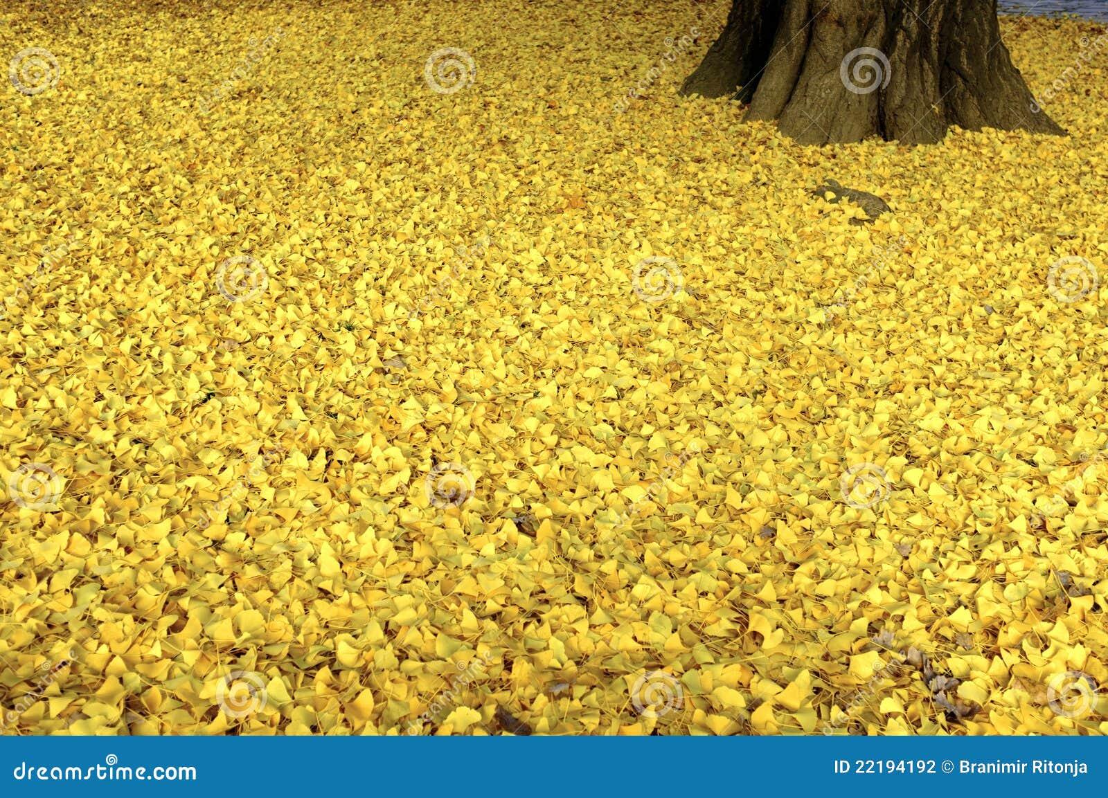 νεκρά φύλλα ginkgo
