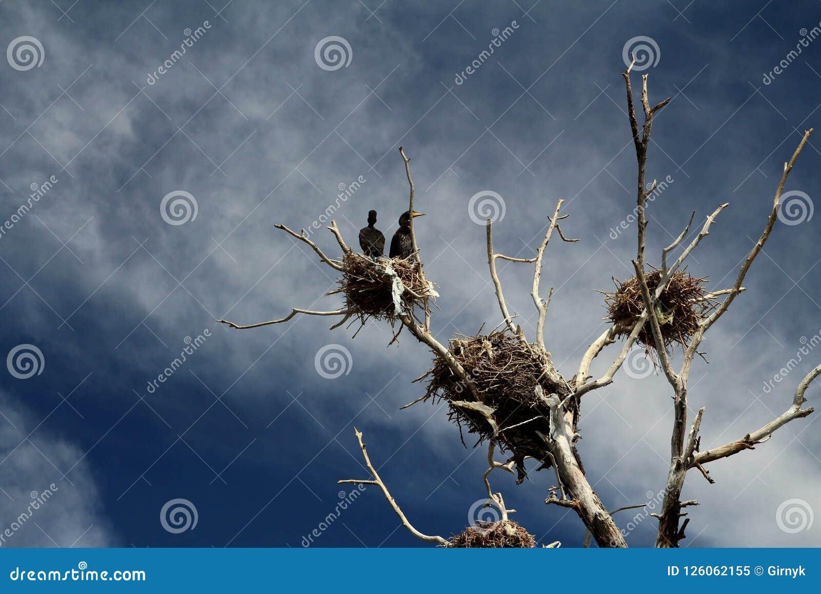Νεκρό δέντρο με τις φωλιές στην κορυφή