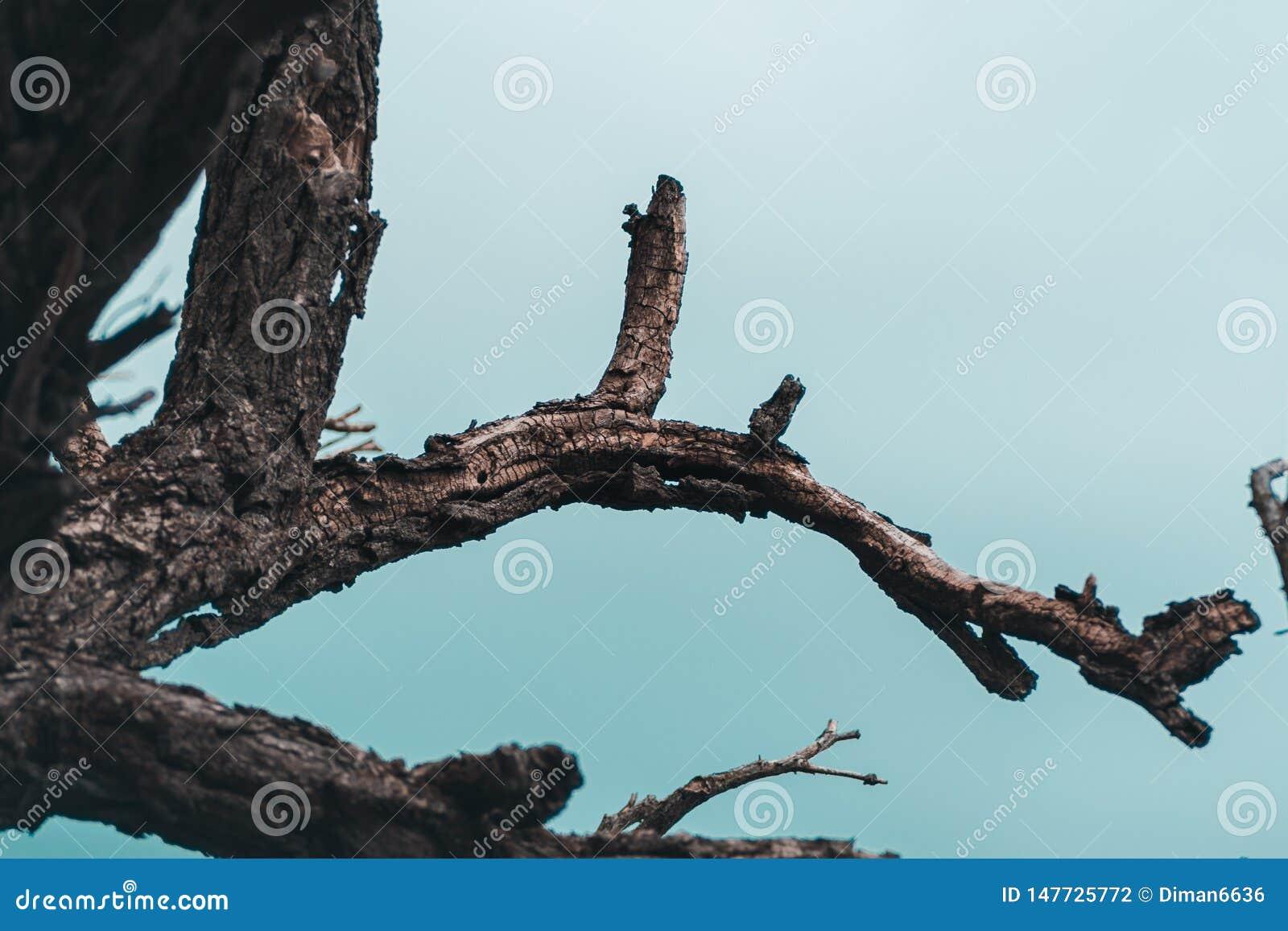 Νεκρό δέντρο στο υπόβαθρο μπλε ουρανού, νεκροί κλάδοι ενός δέντρου Ξηρός κλάδος δέντρων Μέρος του ενιαίου παλαιού και νεκρού δέντ