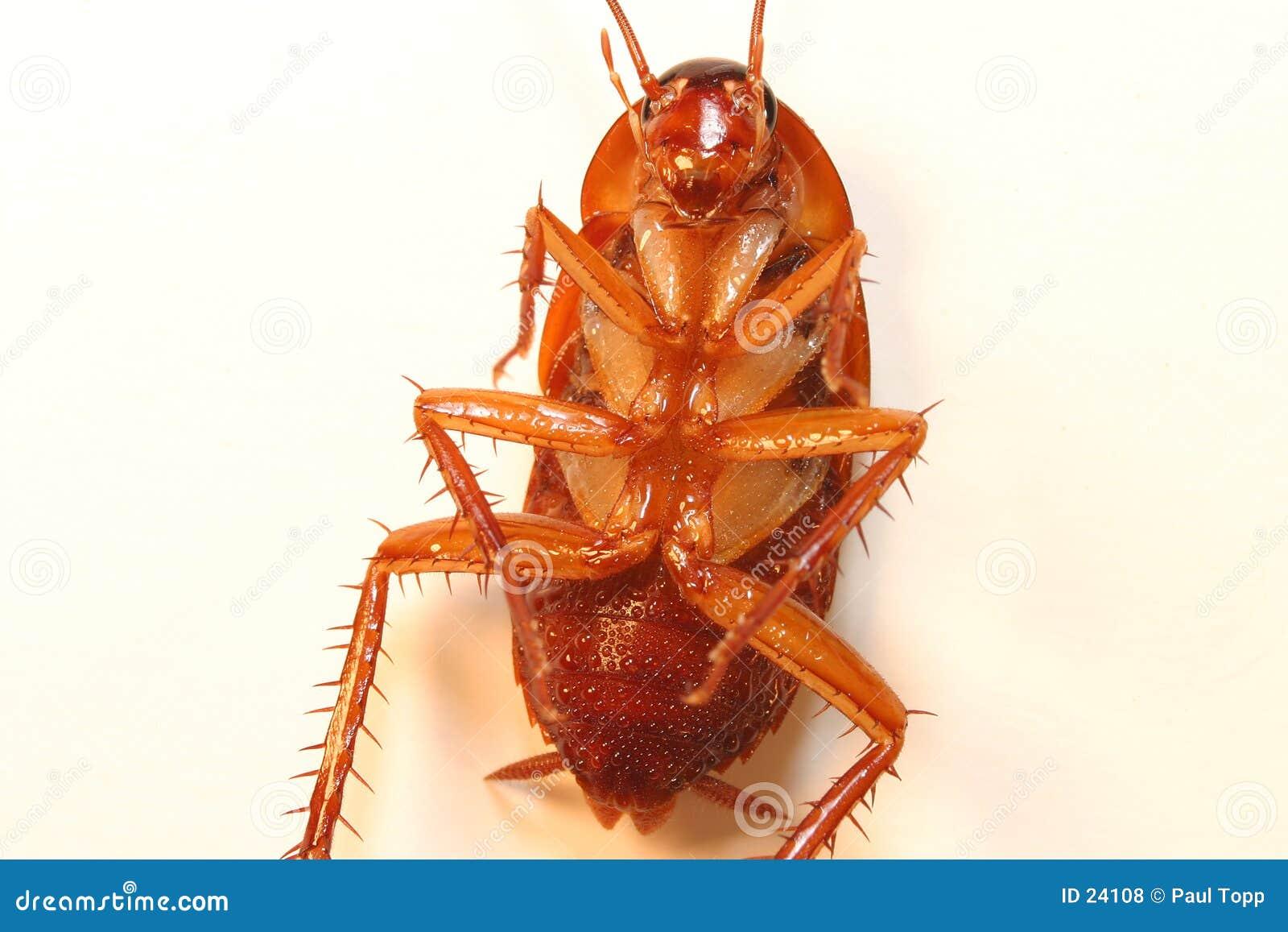 νεκρό roach