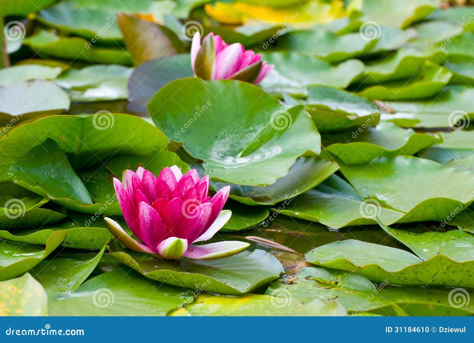 Νερό lilly