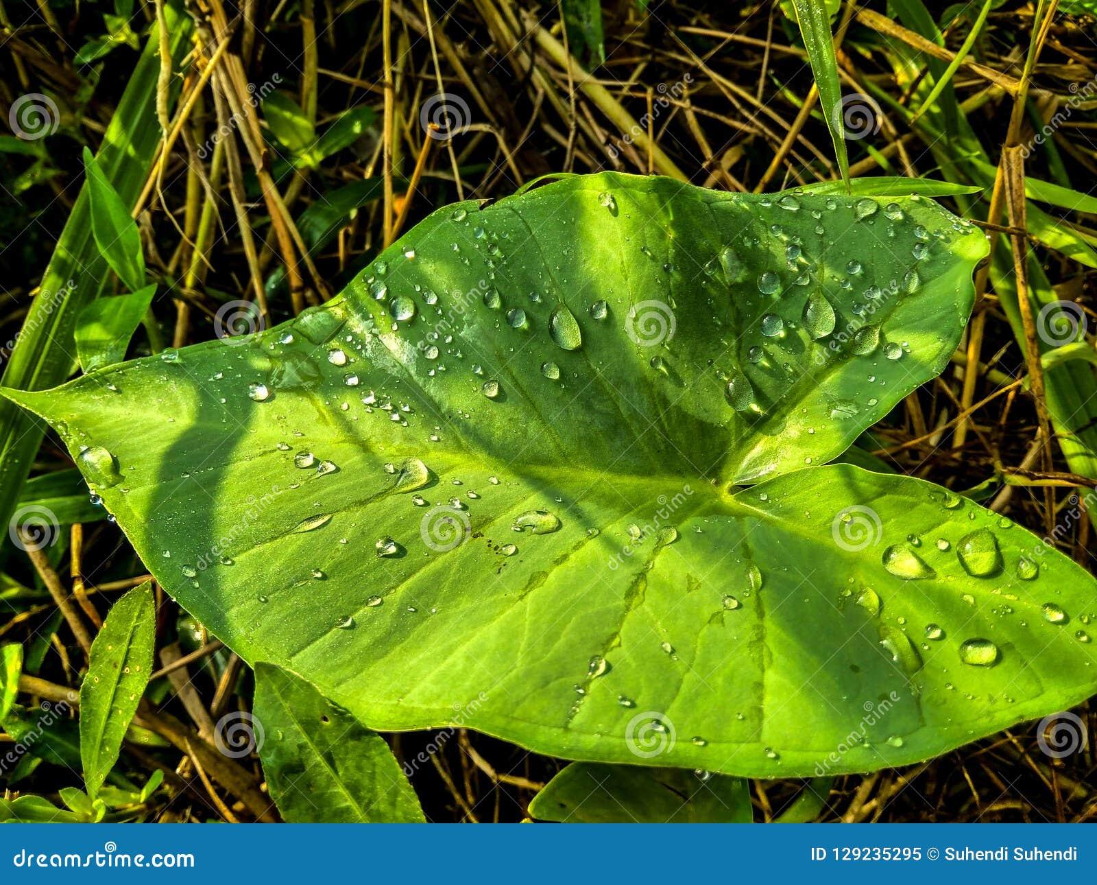 Νερό taro στο φύλλο με το θερμό φως του ήλιου
