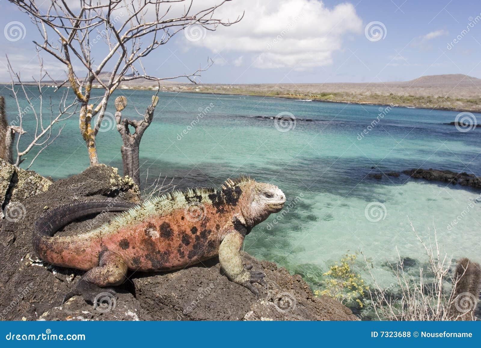 νησί iguana floriana