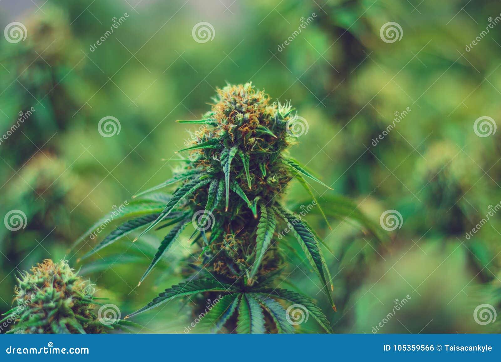 Νομική γεωργία μαριχουάνα για ιατρικούς λόγους