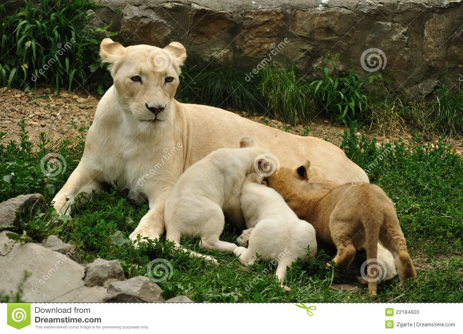νοσοκόμα λιονταρινών