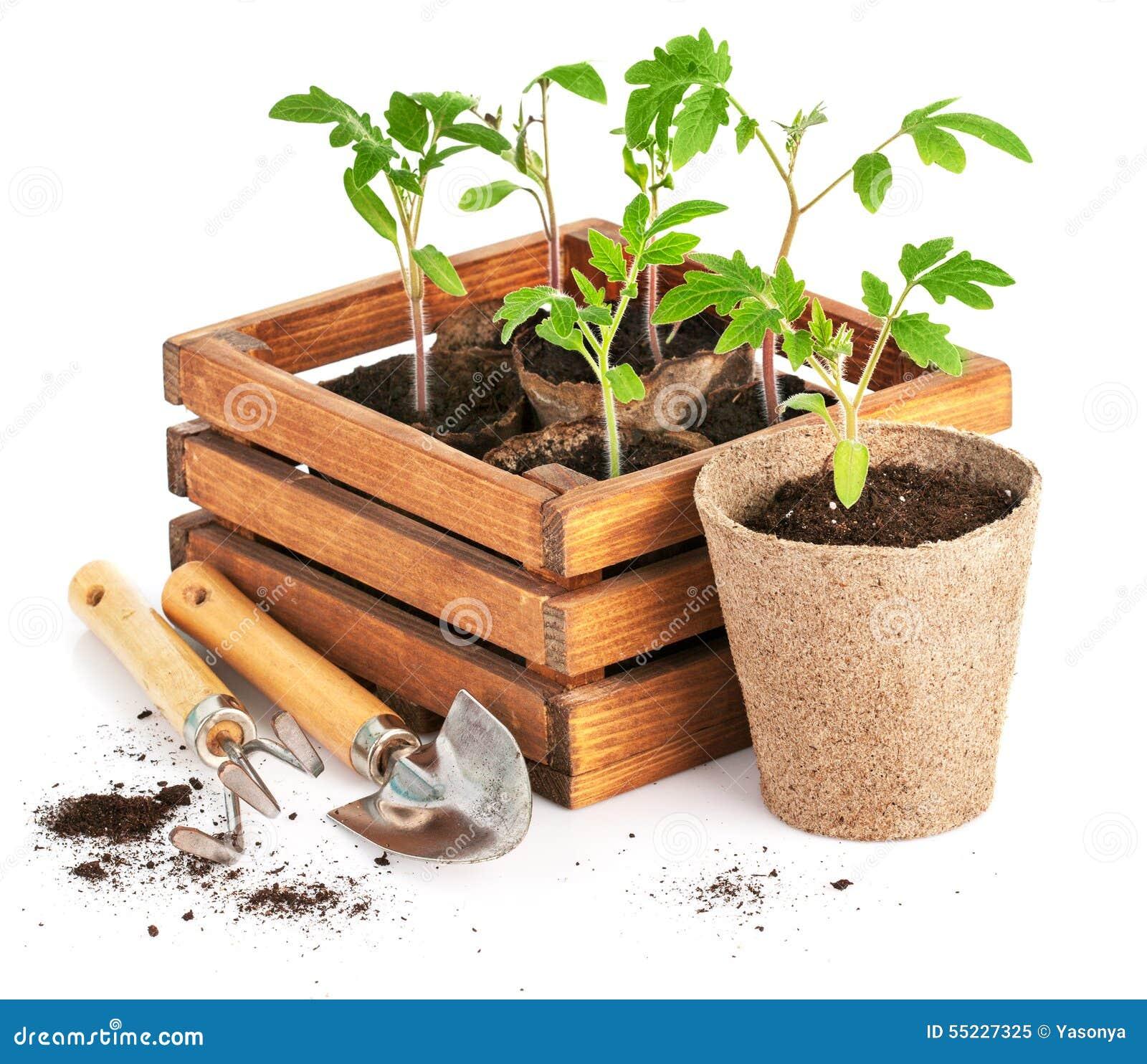 Ντομάτες σποροφύτων στο ξύλινο κιβώτιο με τα εργαλεία κήπων