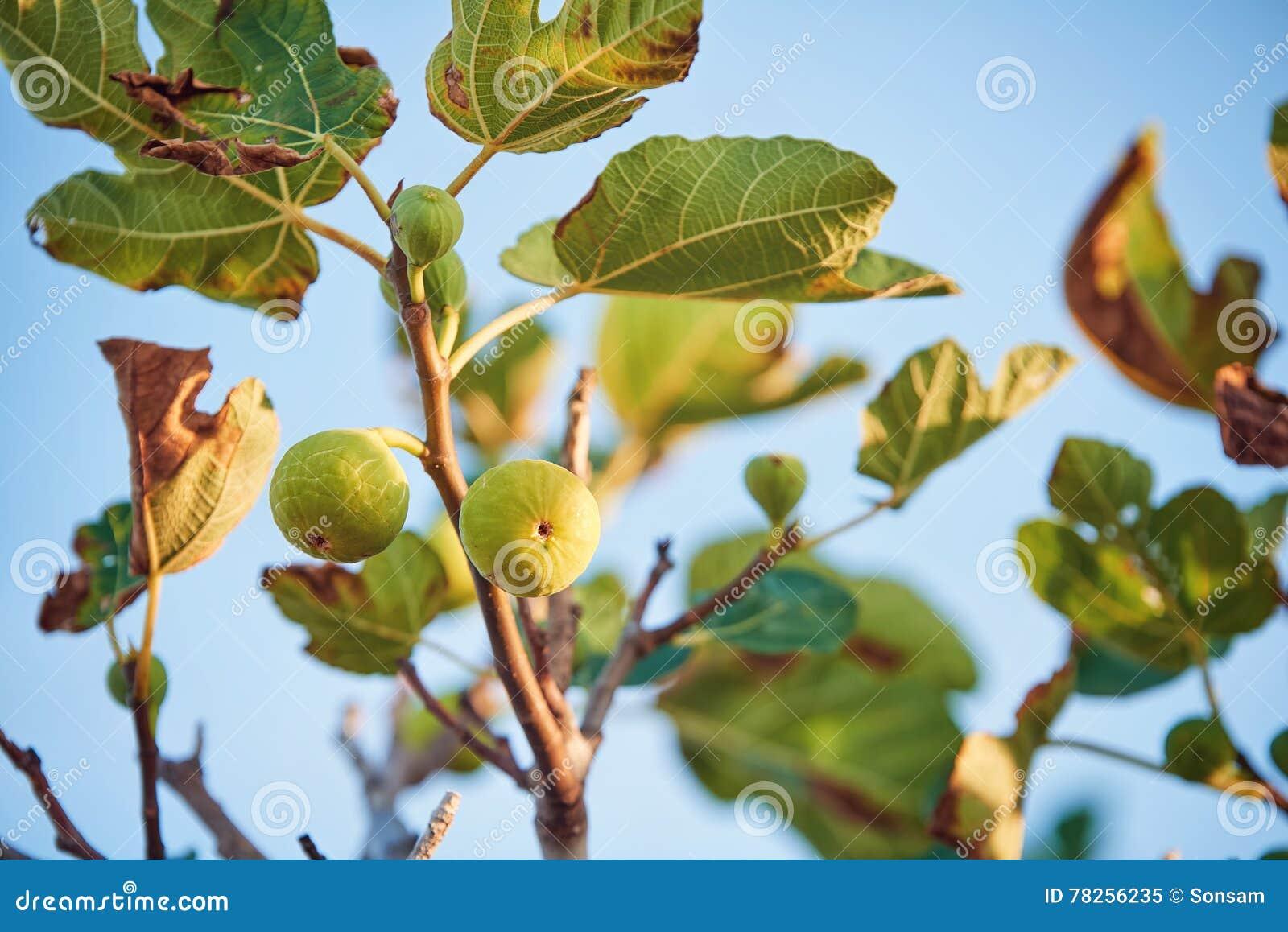 Νόστιμα σύκα στο δέντρο