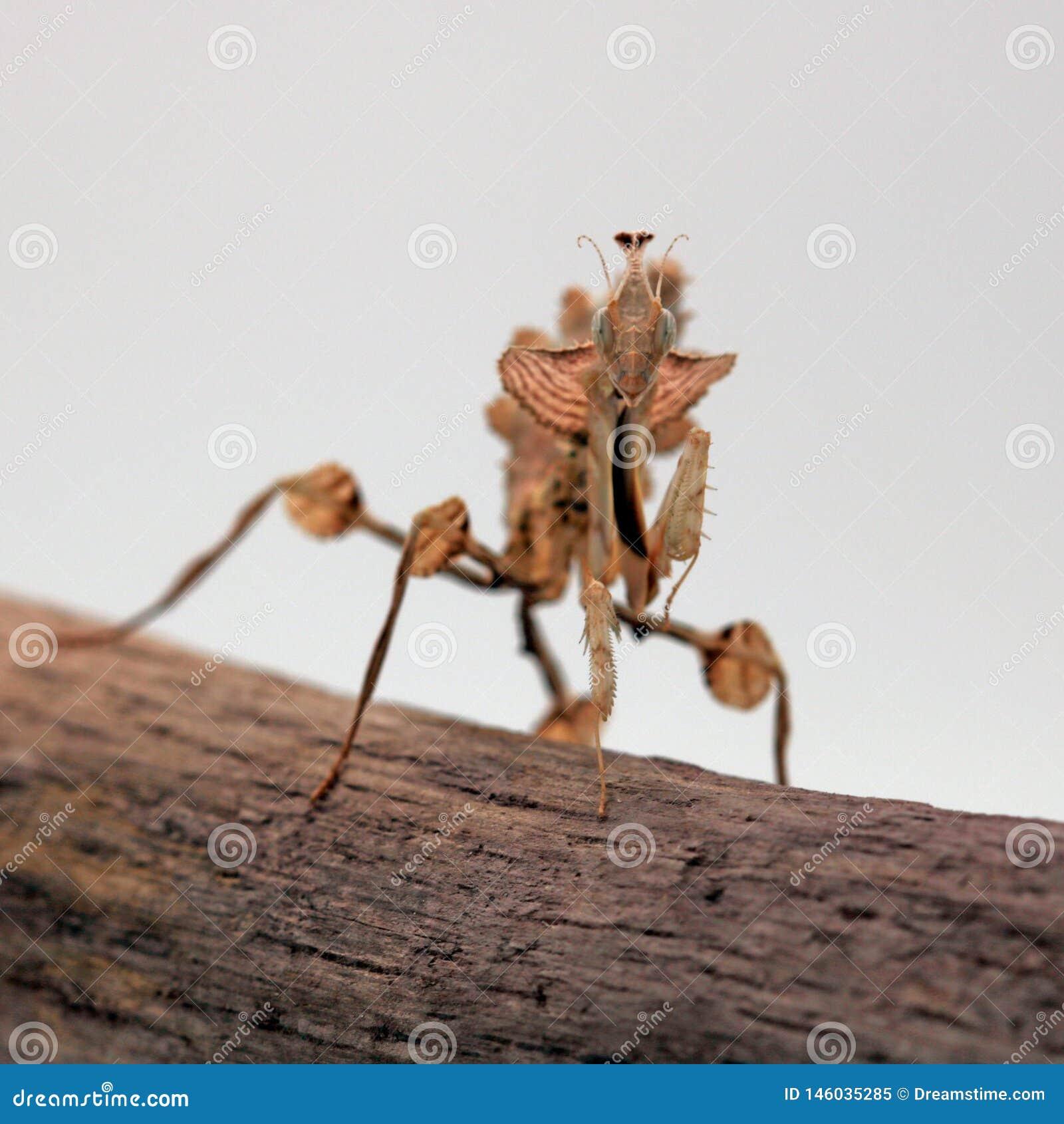 Νύμφη diabolica Idolomantis mantis λουλουδιών διαβόλου