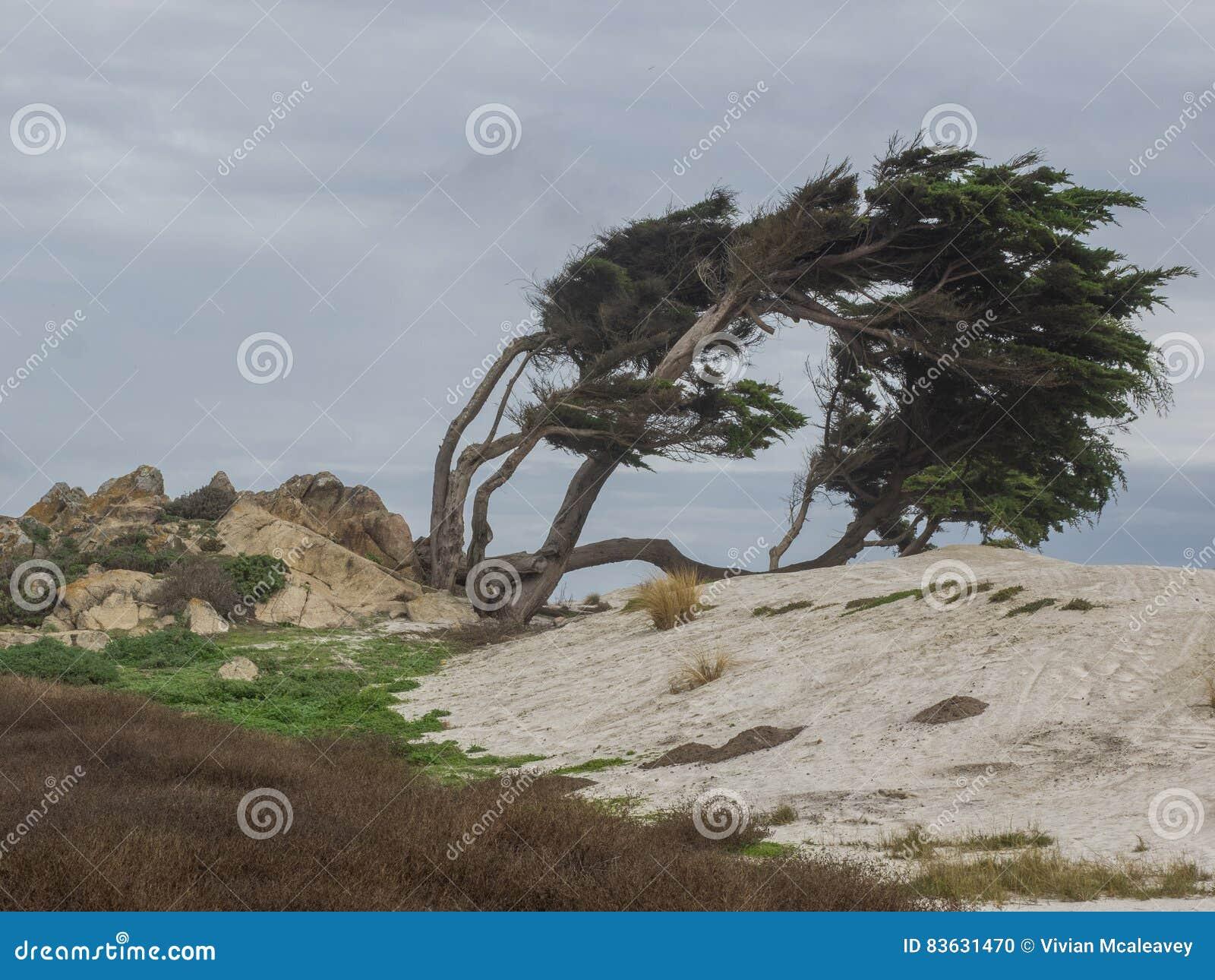 Ξεπερασμένα δέντρα κυπαρισσιών Monterey