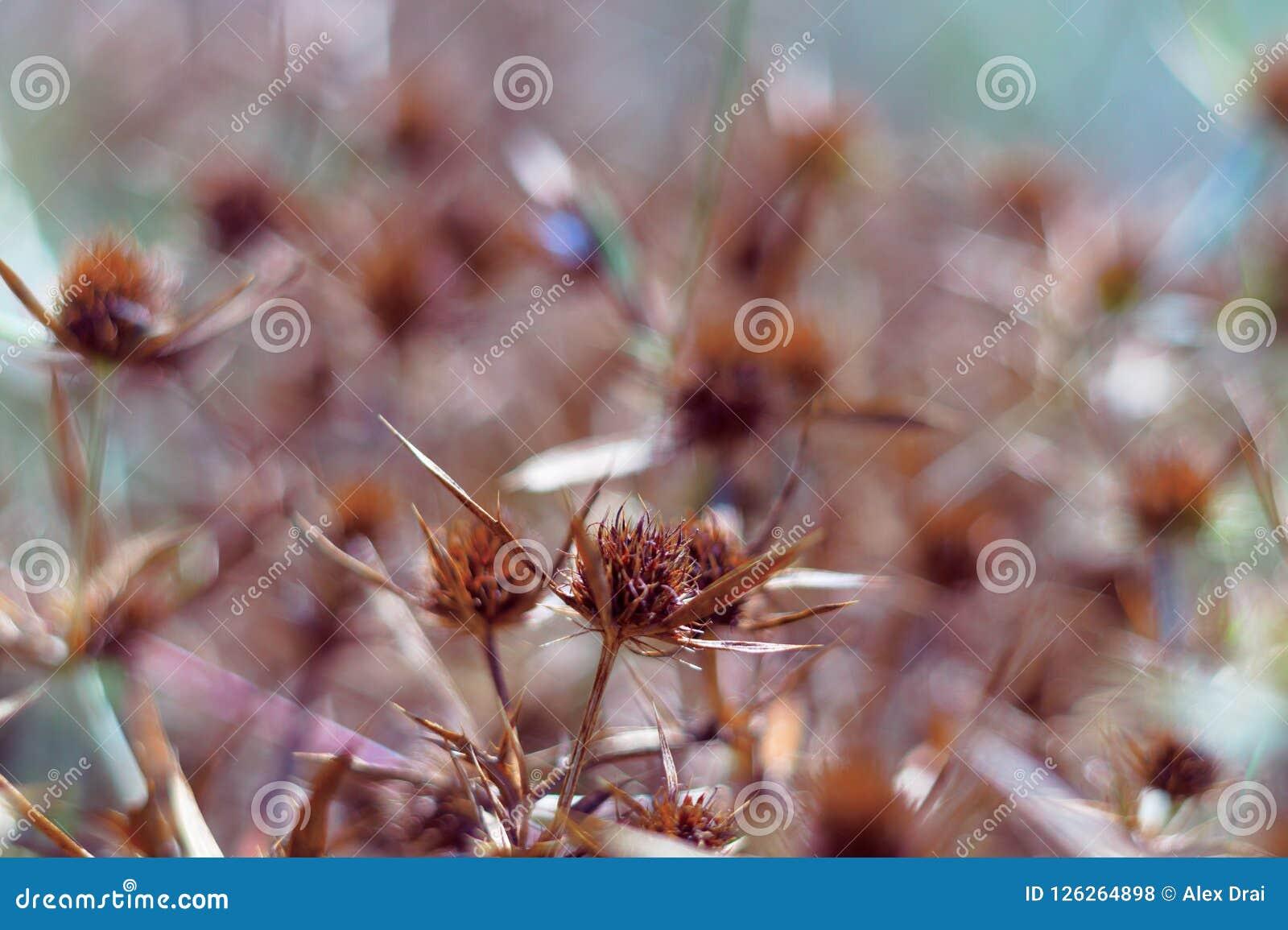Ξηρά άνθη ενός μπλε-κεφαλιού στον τομέα Το έντονο πορτοκαλί χρώμα της επάνθισης δείχνει την ωριμότητα των σπόρων κλείστε