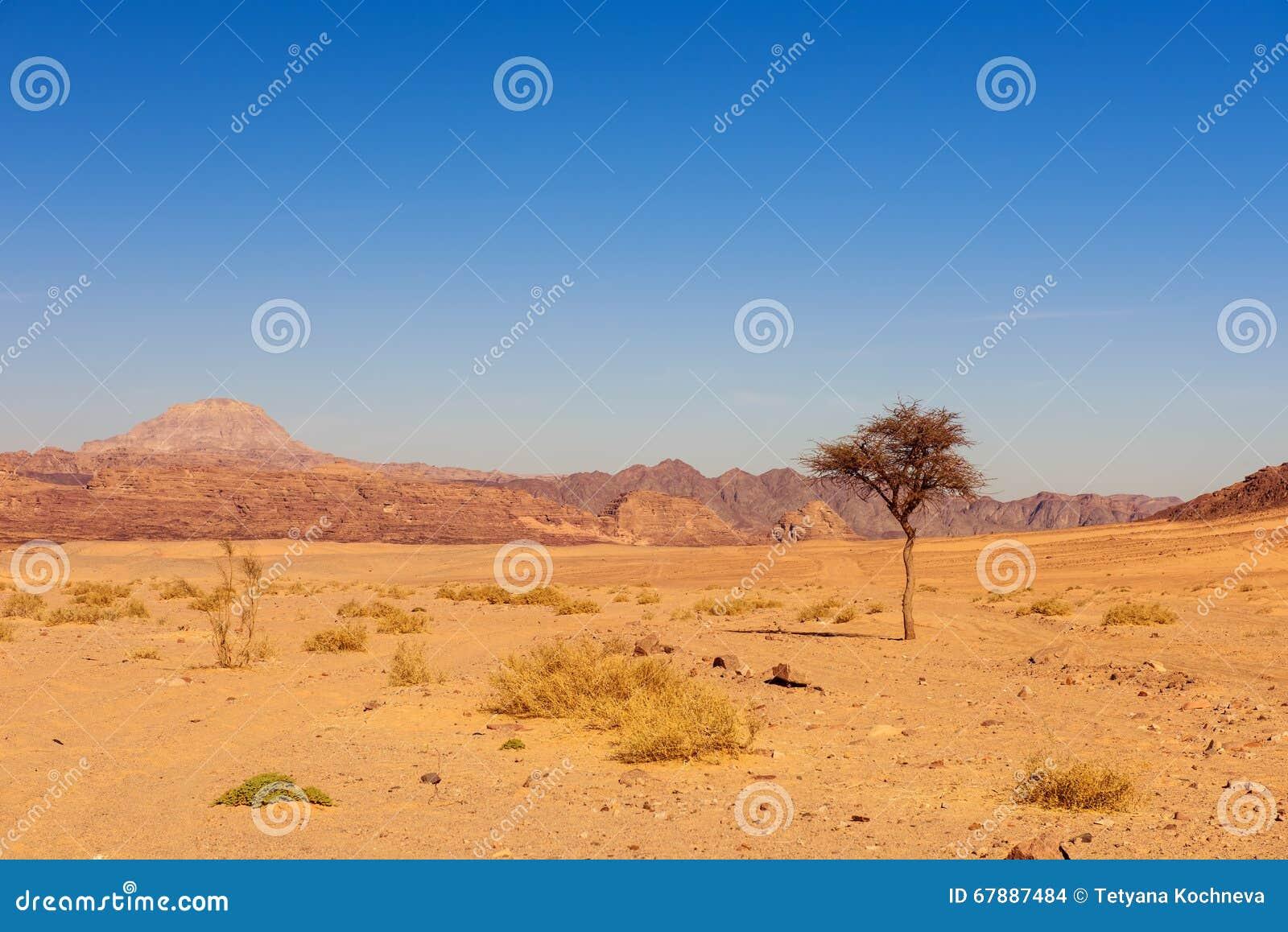 Ξηρά έρημος και δέντρο sinai Αίγυπτος