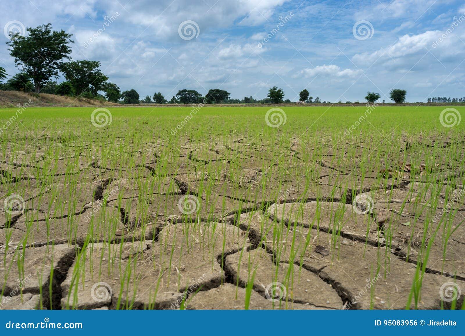 Ξηρασία τομέων ρυζιού
