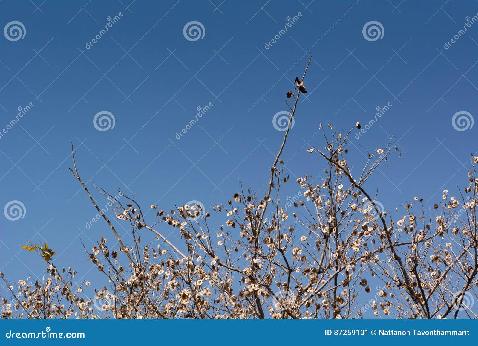 ξηρό δέντρο