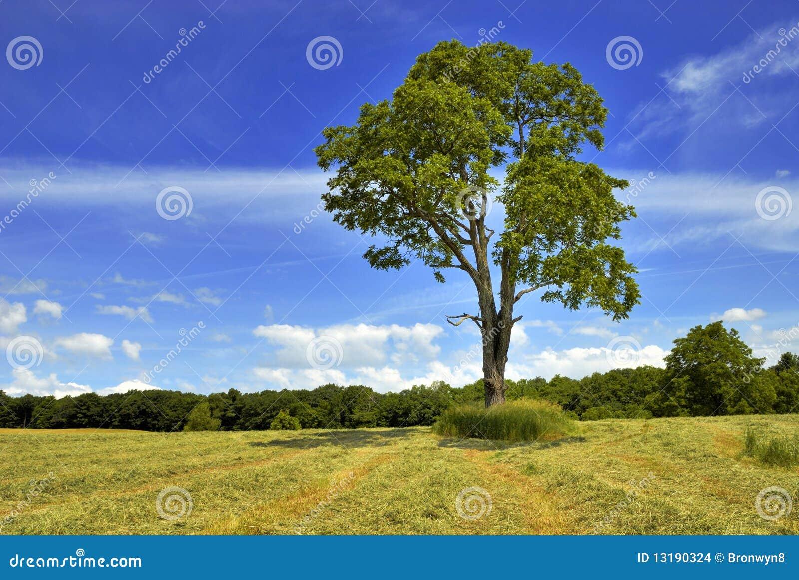 ξύλο καρυδιάς δέντρων
