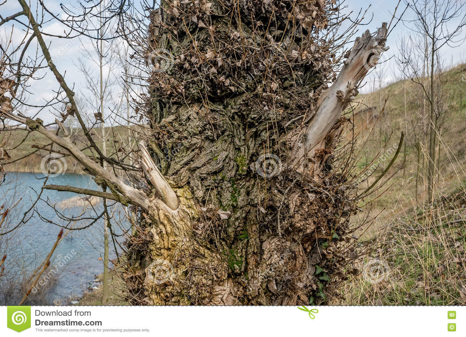 Ξύλο ακακιών που καλύπτεται με τα φύλλα 2 αμπέλων