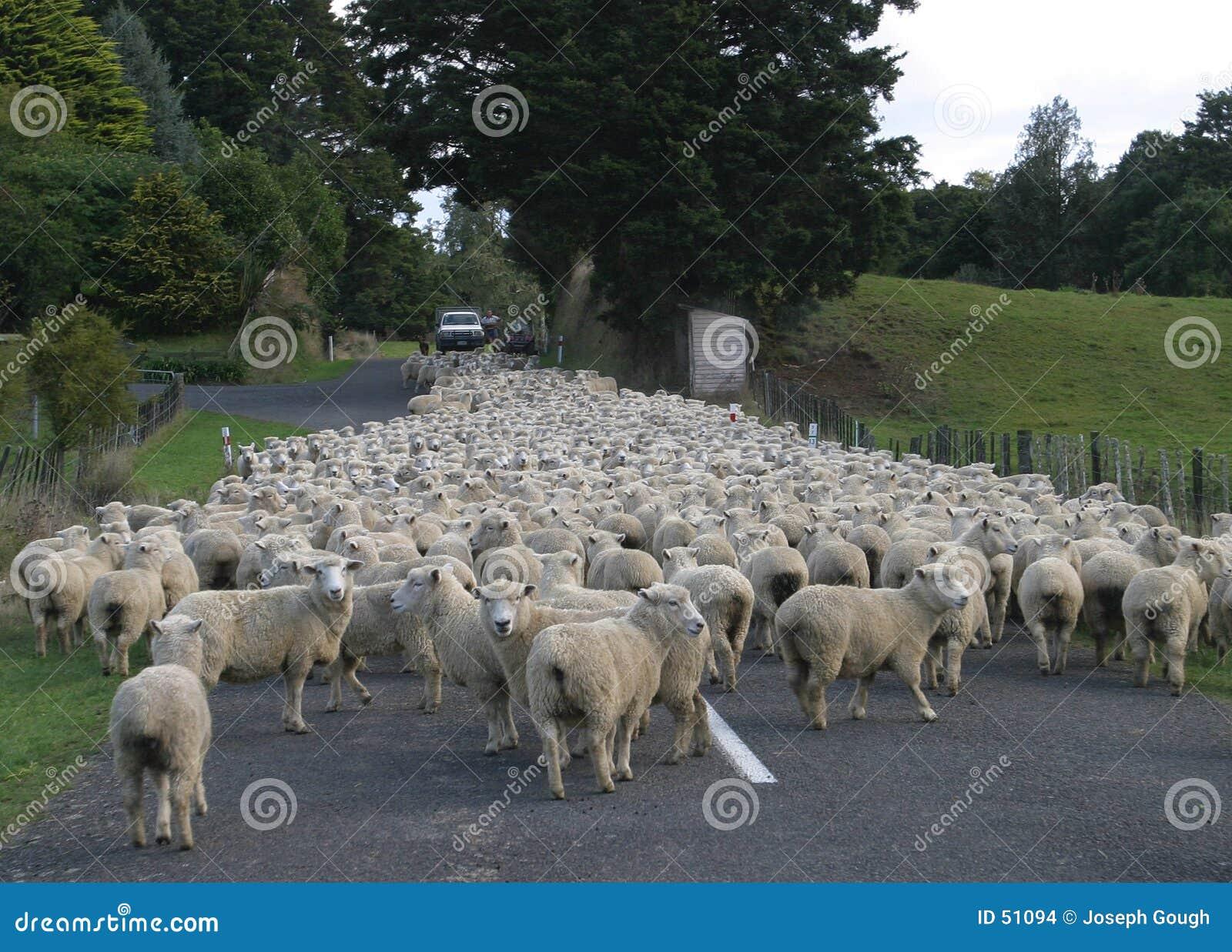 οδικά πρόβατα κοπαδιών κο&