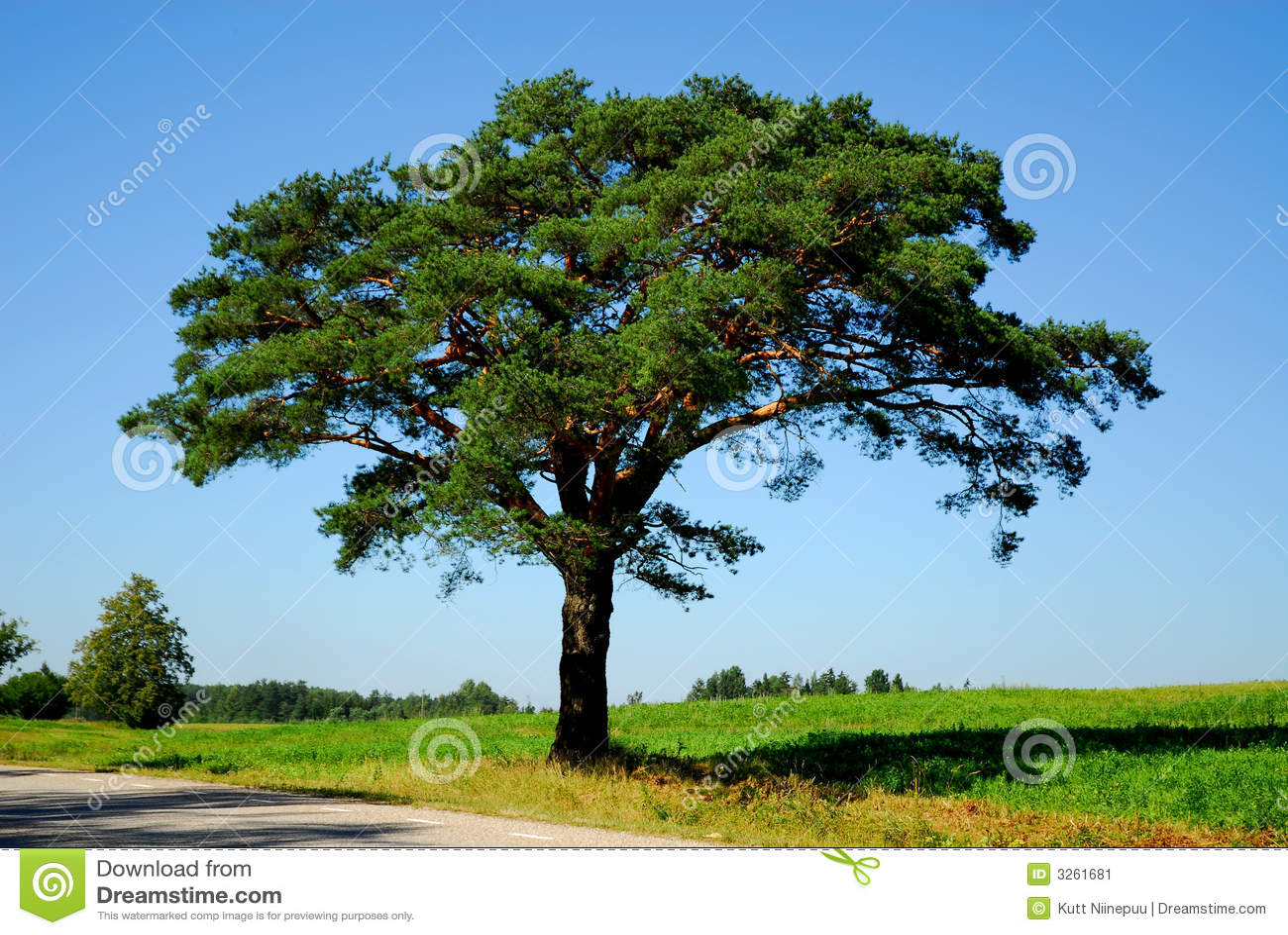 οδικό δέντρο πεύκων