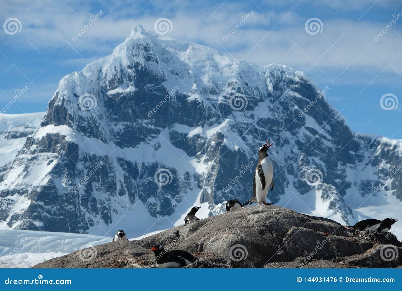 Οδοντωτά χιονώδη βουνά 2 στάσεων της Ανταρκτικής Gentoo penguins