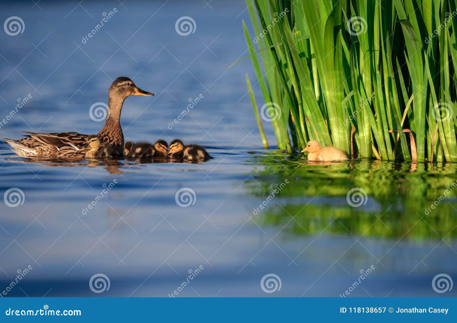Οικογένεια παπιών πρασινολαιμών με τον κίτρινο νεοσσό