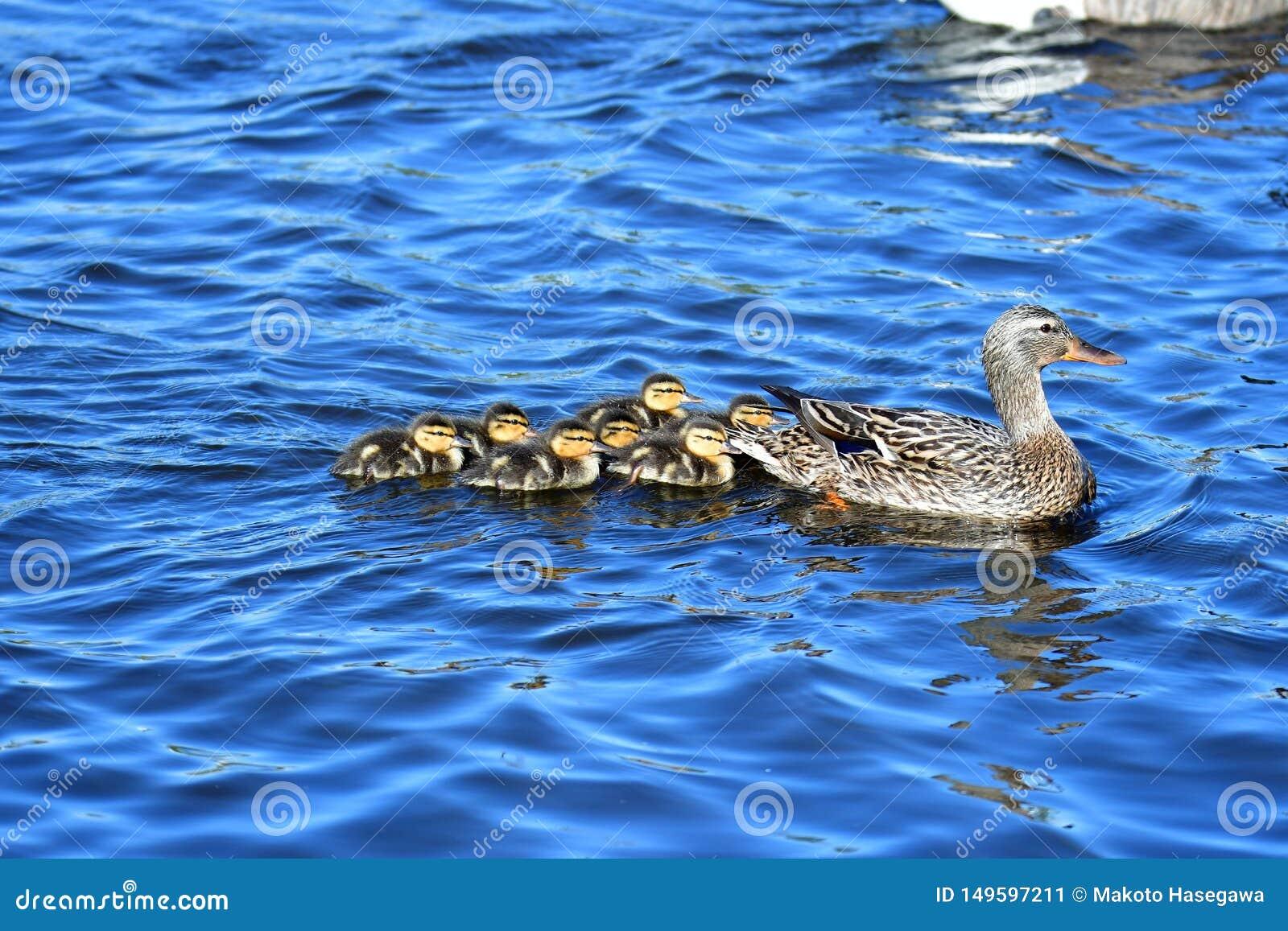 Οικογένεια παπιών πρασινολαιμών που κολυμπά στη λίμνη