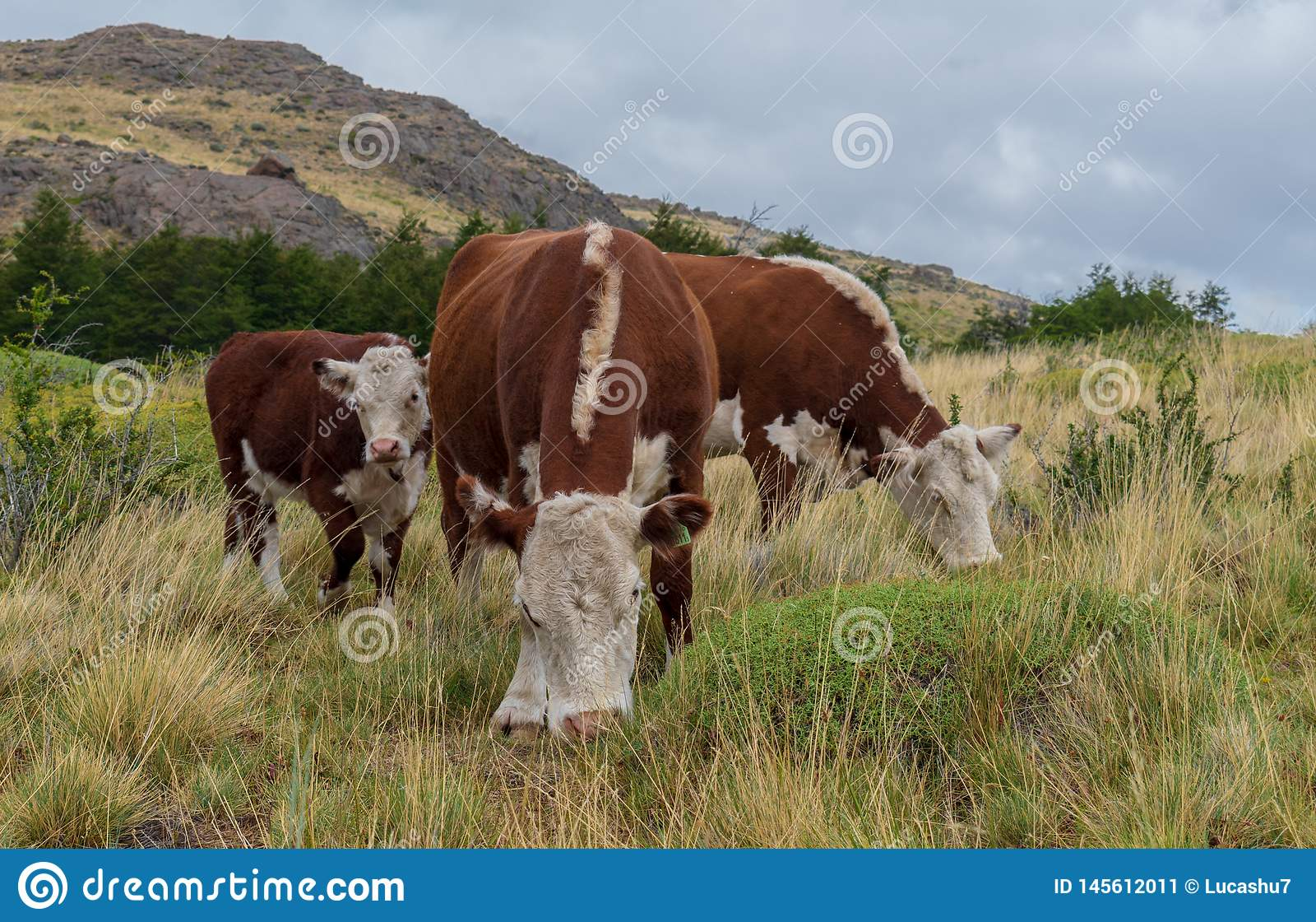 Οικογένεια των αγελάδων που βόσκουν το απόγευμα