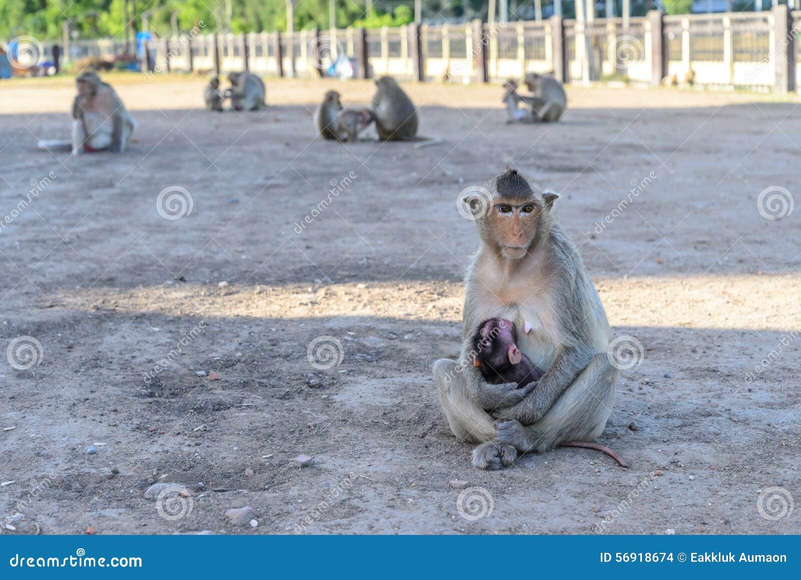 Οικογενειακός πίθηκος σε Lopburi, Ταϊλάνδη