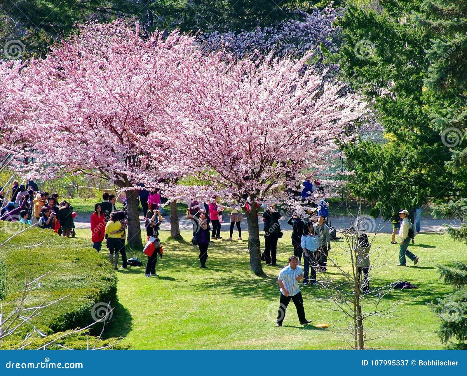 Οι άνθρωποι απολαμβάνουν τα άνθη κερασιών άνοιξη στο Τορόντο ` s, υψηλό πάρκο