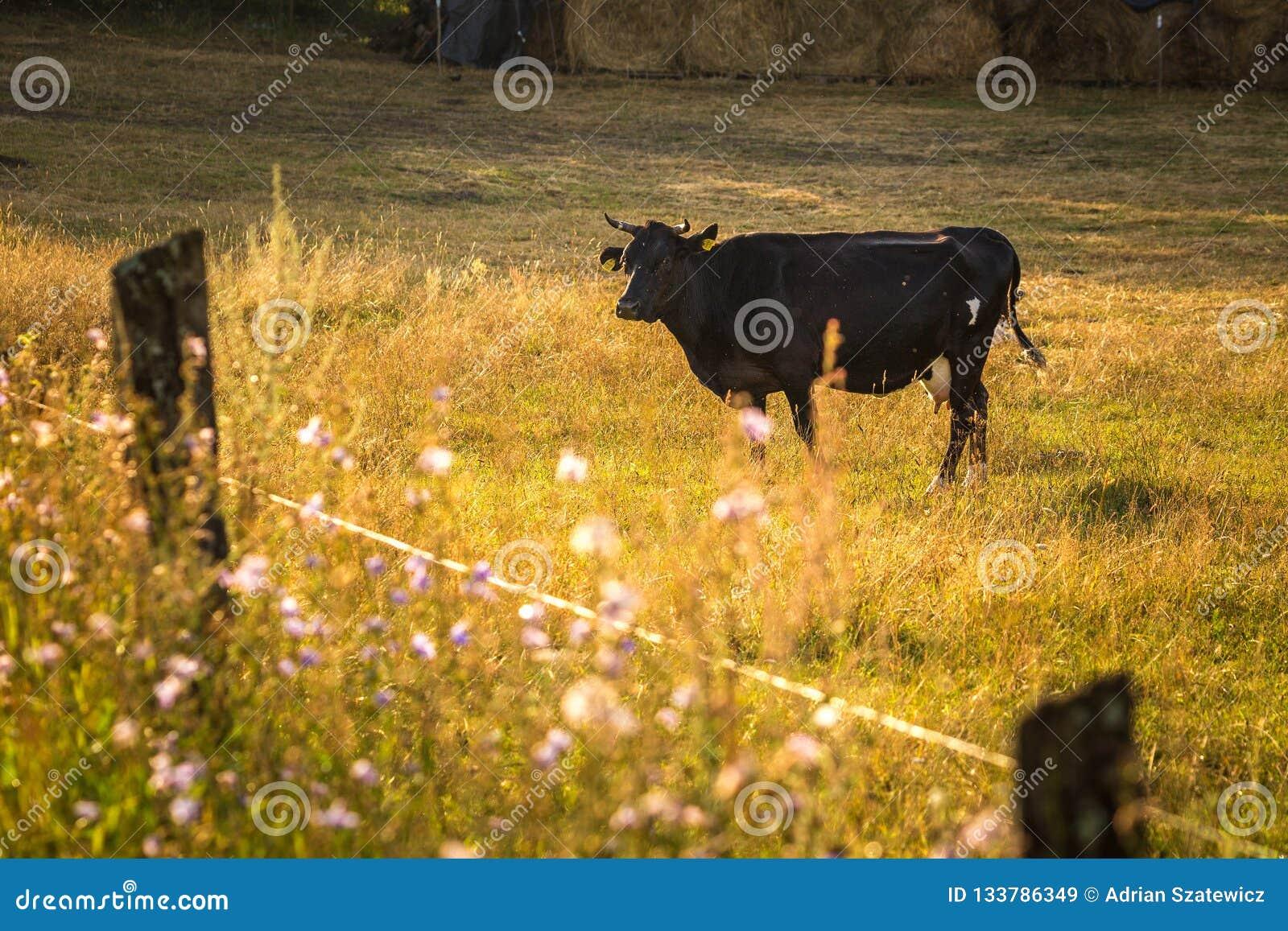 Οι αγελάδες στον τομέα, γυαλίζουν το αγροτικό τοπίο, αργά το βράδυ χρυσό λ