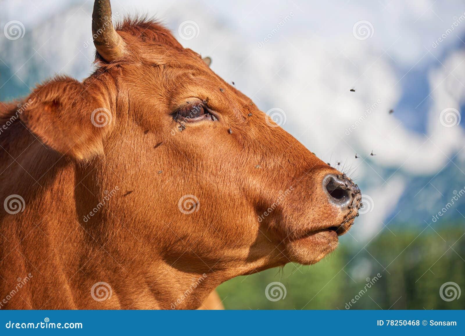 Οι αγελάδες κλείνουν επάνω στο λιβάδι