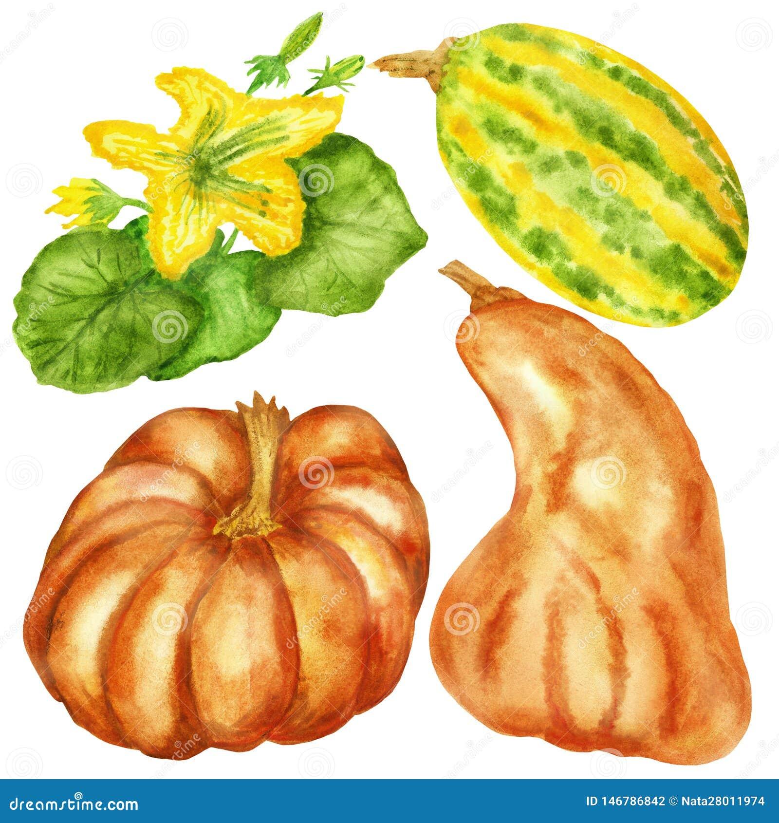 Οι απεικονίσεις Watercolor, ένα σύνολο κολοκυθών και το άνθισμα διακλαδίζονται με τα φρούτα κολοκύθας που απομονώνονται σε ένα άσ