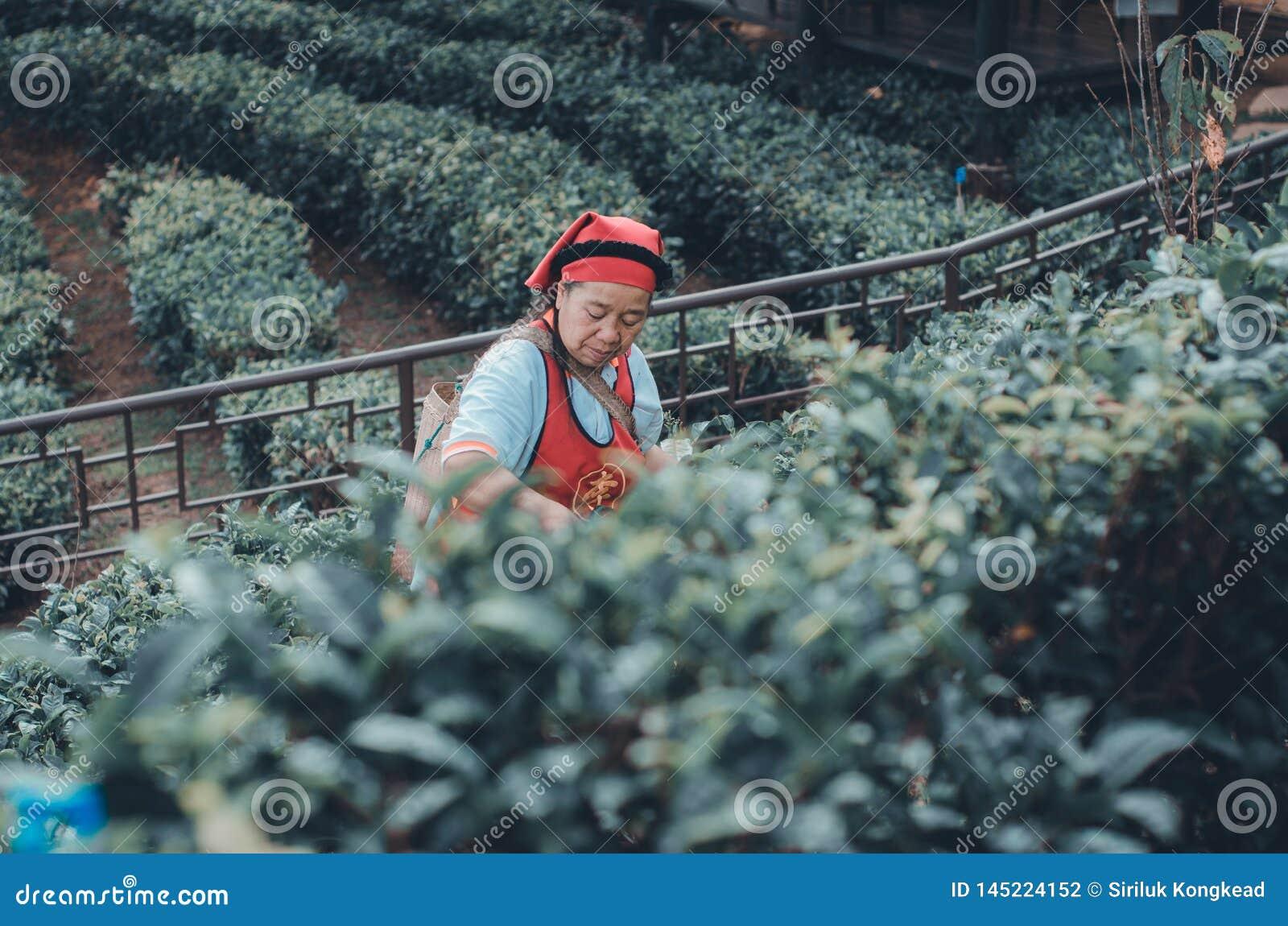Οι κηπουροί συλλέγουν τα φύλλα τσαγιού