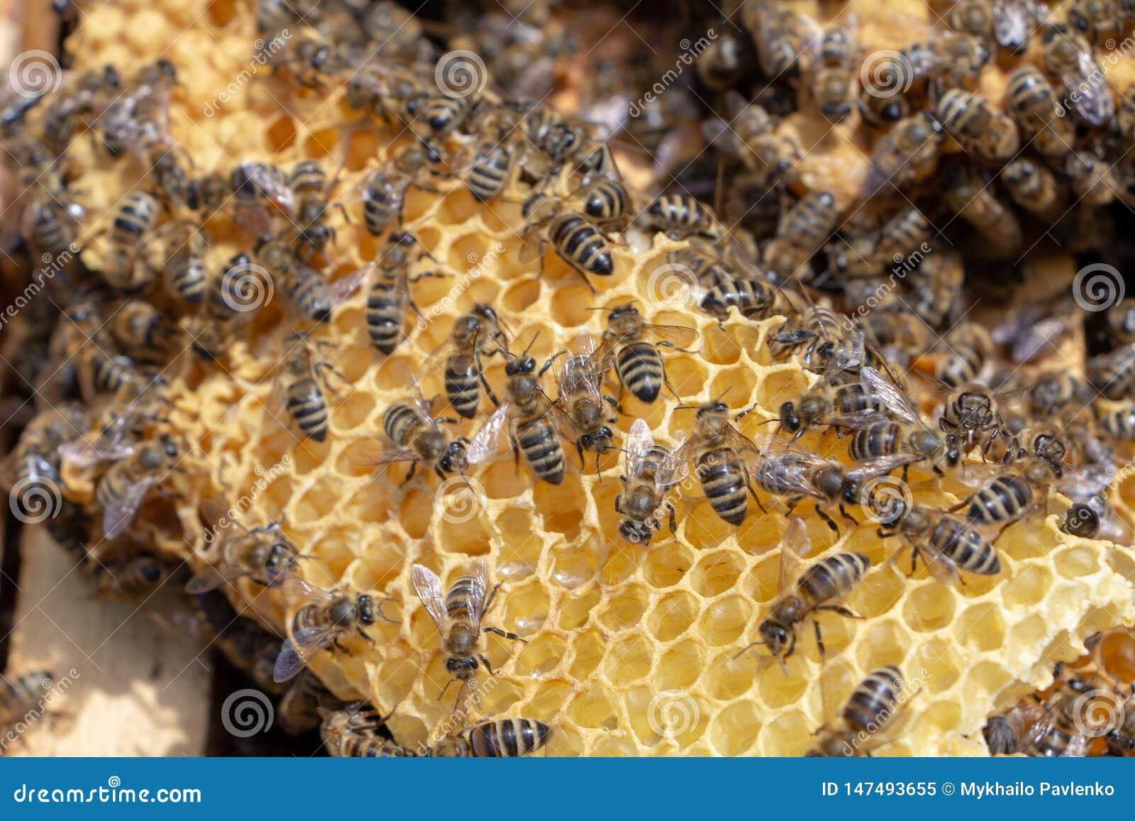Οι μέλισσες εργάζονται σε μια ανοικτή κυψέλη, η οποία εξυπηρετεί έναν μελισσοκόμο