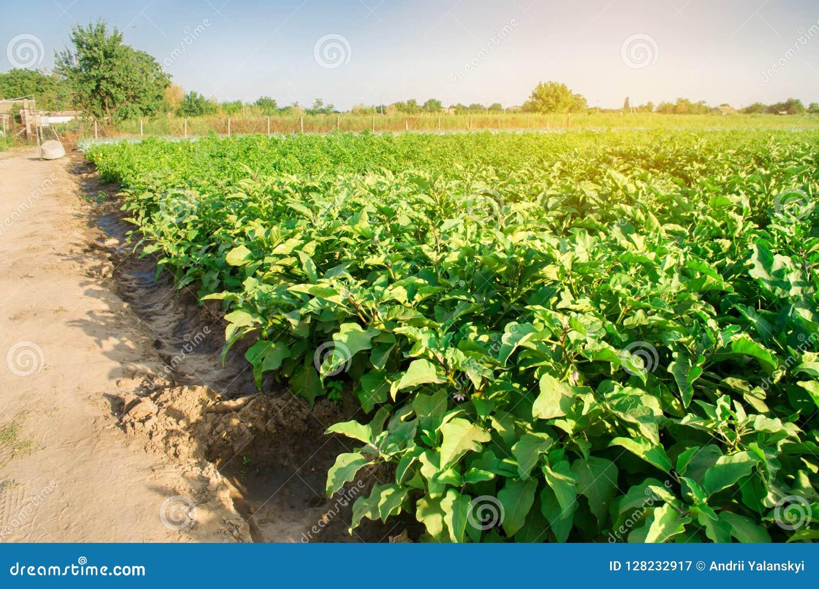 Οι μελιτζάνες αυξάνονται στον τομέα φυτικές σειρές Γεωργία, λαχανικά, οργανικά αγροτικά προϊόντα, αγροβιομηχανία farmlands AUB