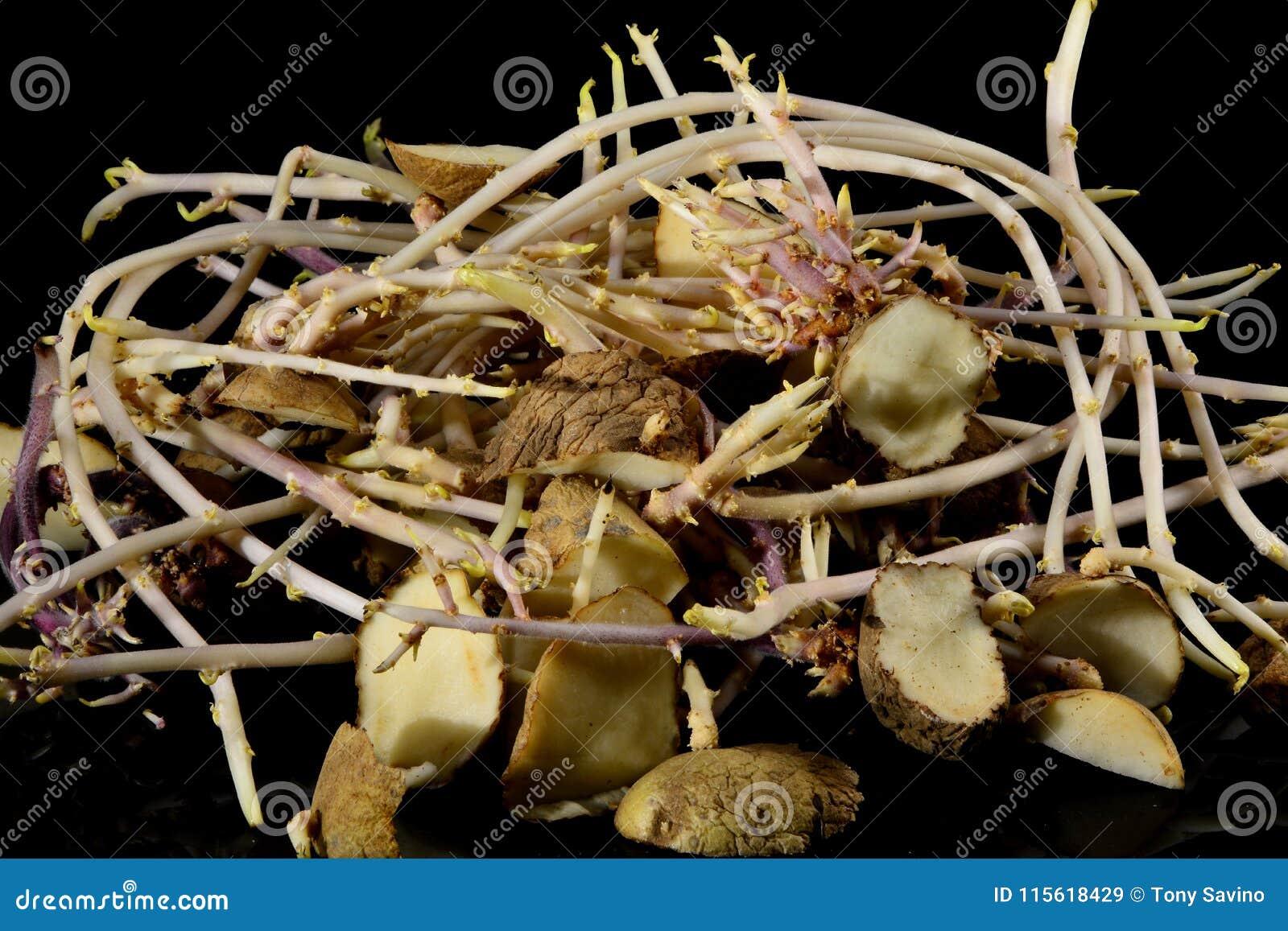 Οι πατάτες που κυβίστηκαν στα τμήματα για τη φύτευση