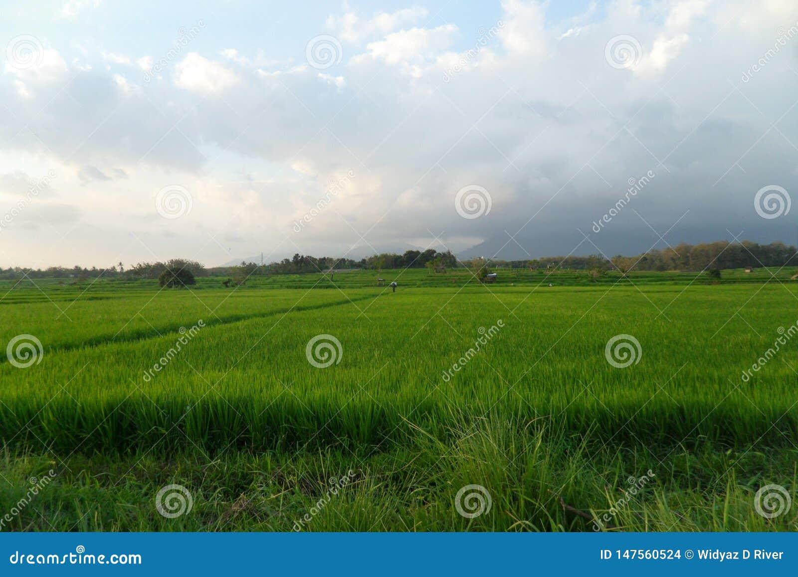 Οι πράσινοι τομείς ρυζιού φέρνουν την ευτυχία