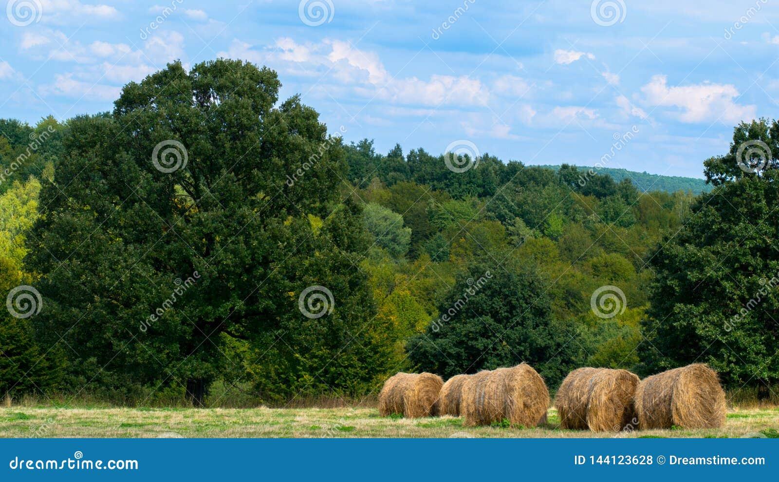 Οι σωροί του σανού πληγώνουν neetly αριστερά στους τομείς στο Cluj, Ρουμανία