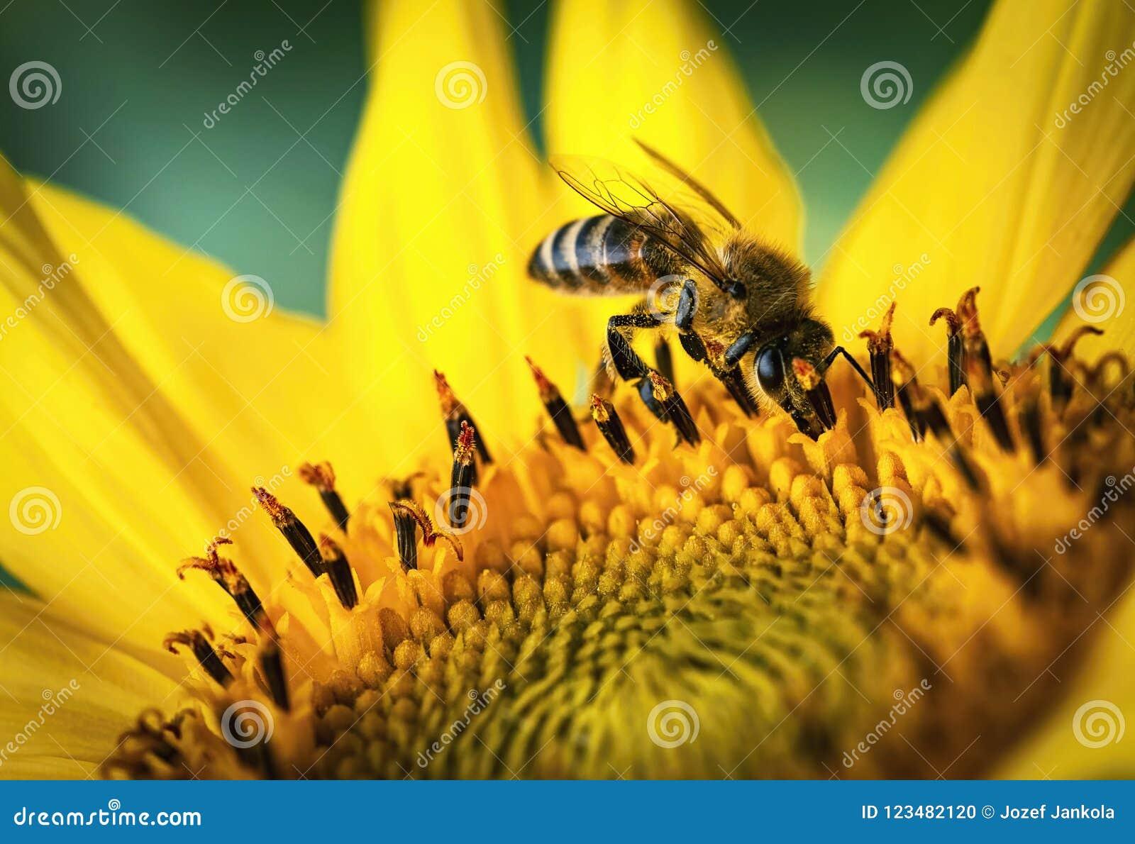 Οι τροφές μελισσών με έναν ηλίανθο