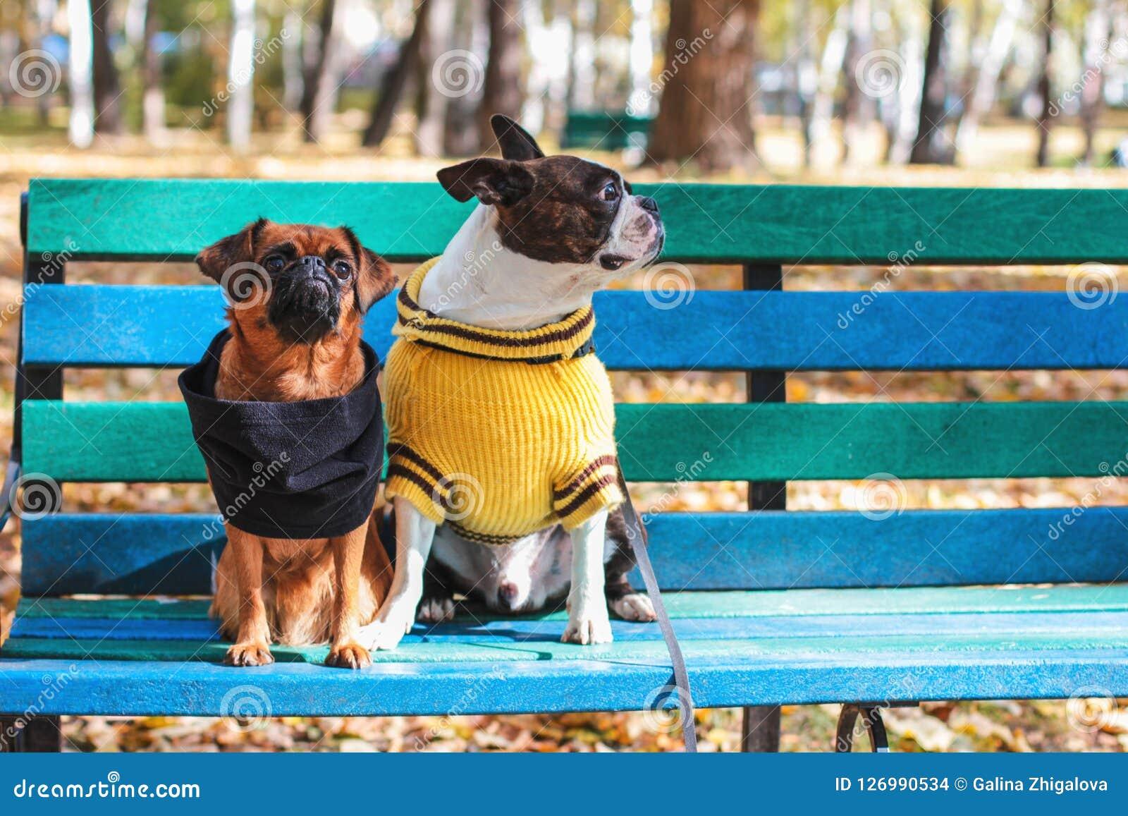 Οι φίλοι σκυλιών κάθονται σε έναν πάγκο στο πάρκο φθινοπώρου, το τεριέ της Βοστώνης και το μικρό brabanson
