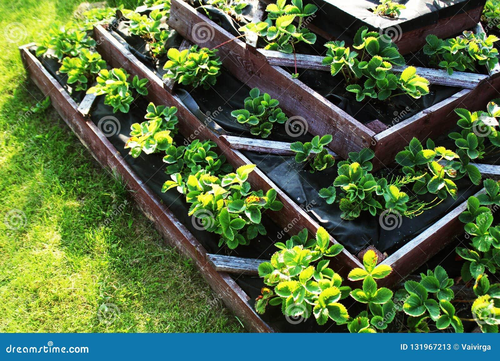 Οι φράουλες μεγαλώνουν στο αυξημένο κρεβάτι κήπων Αυξημένος πυραμίδα κήπος