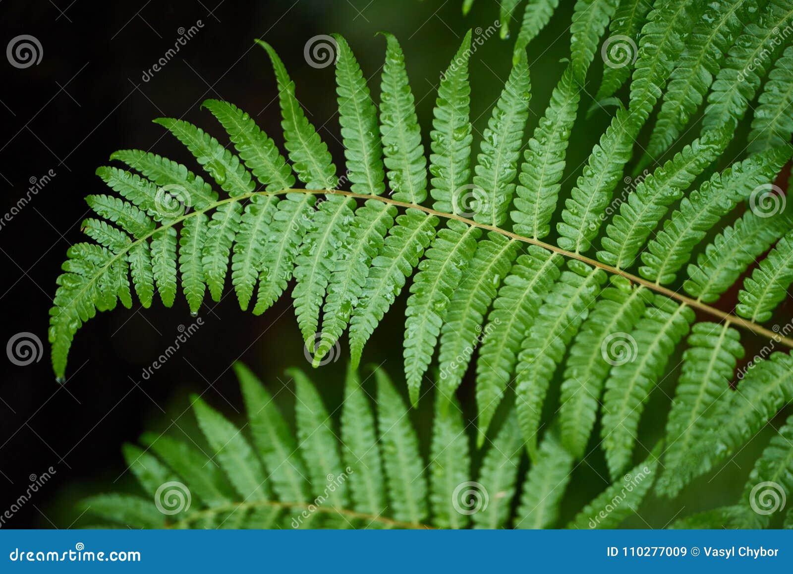 Οι φτέρες Beautyful αφήνουν στο πράσινο φύλλωμα το φυσικό floral backgro φτερών
