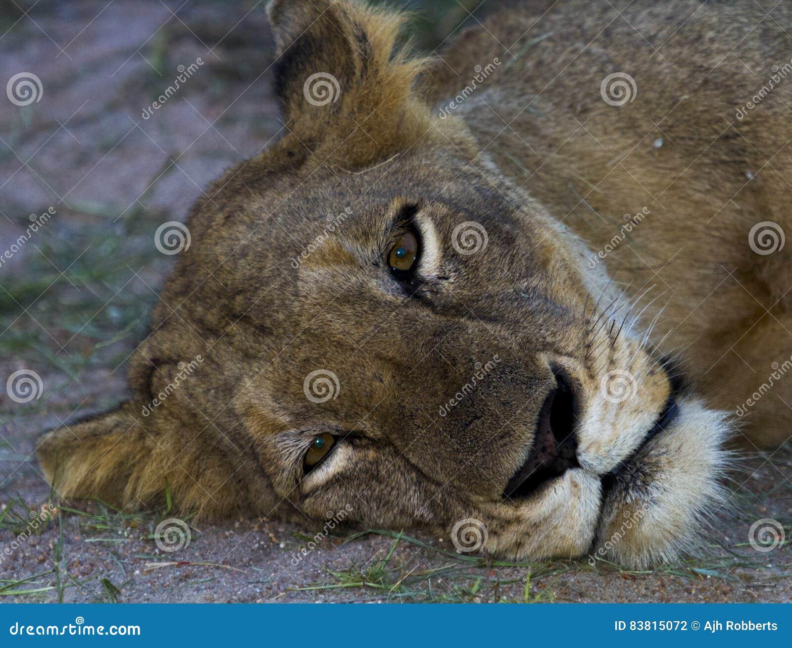 οκνηρή λιονταρίνα